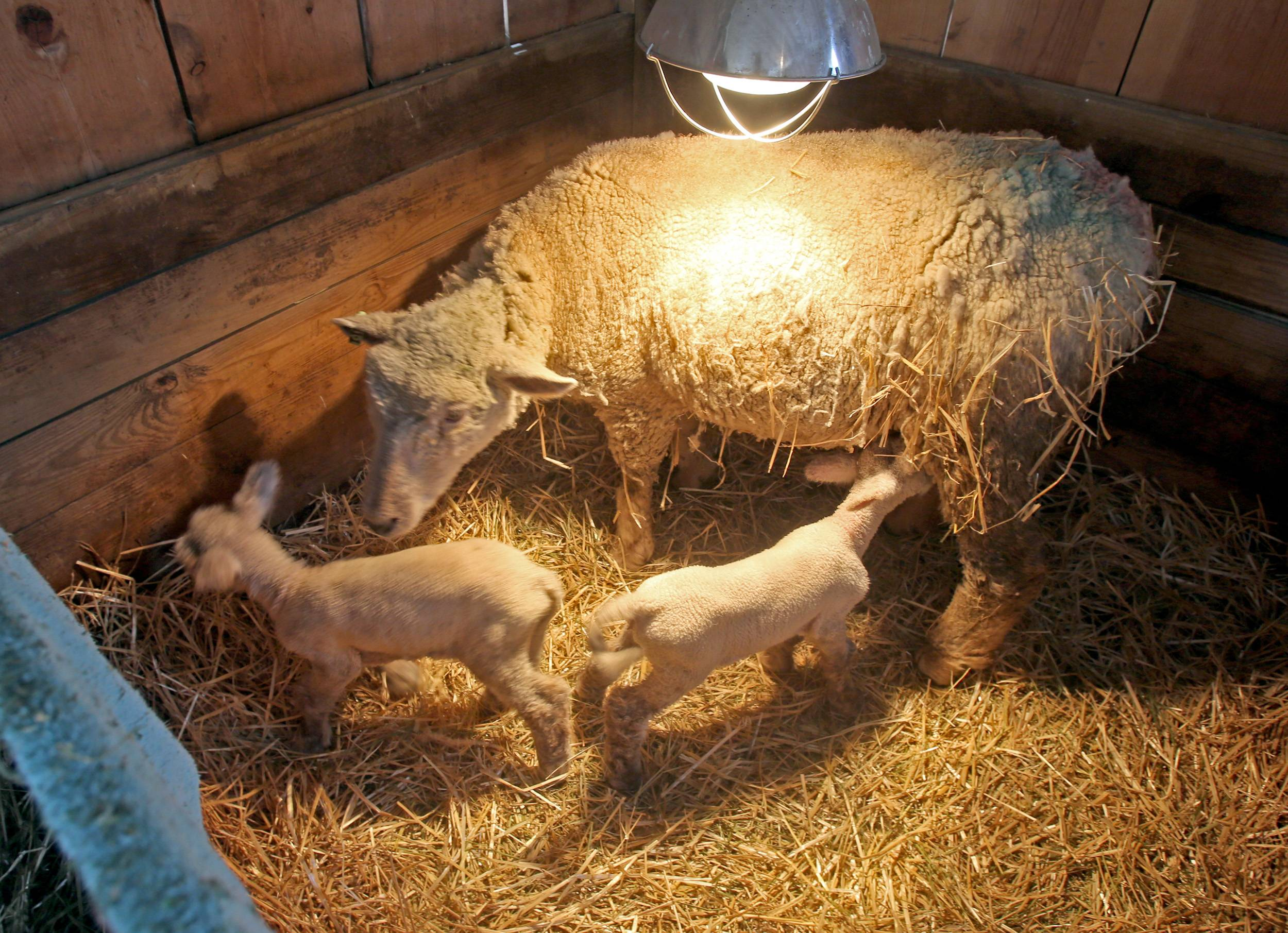 Several ewes of the Southdown sheep flock at Kline Creek Farm in West Chicago have given birth to lambs in recent days.