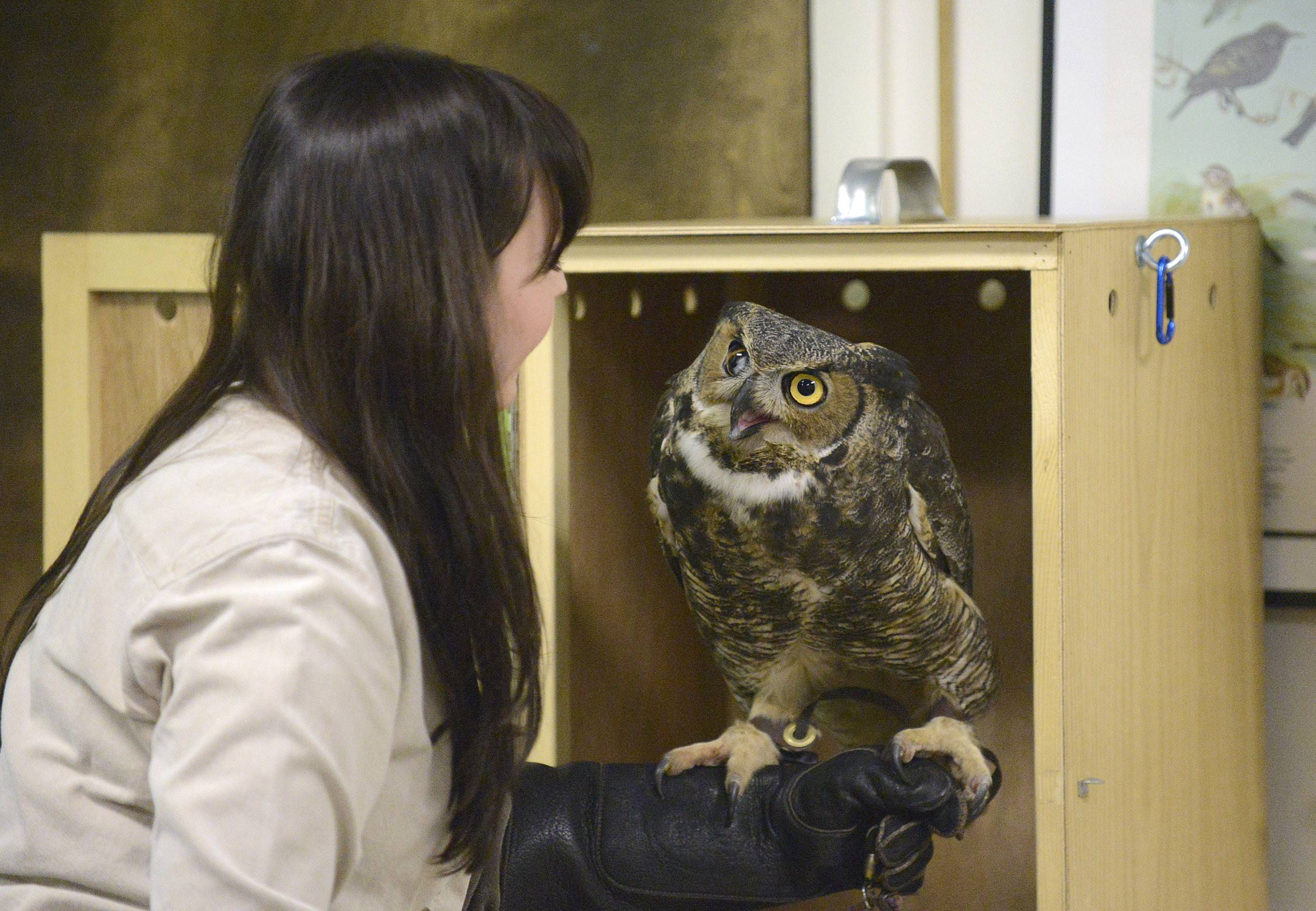 "Naturalist Stephanie Touzalin takes Andre, a Great Horned owl, out to show to visitors Sunday during the ""Big, Bad and Beautiful: Your Backyard Birds of Prey"" presentation at Willowbrook Wildlife Center in Glen Ellyn. Andre and a Red Tailed hawk named Henna were shown to 30 people who gathered to learn about the similarities and differences of the large birds of prey."