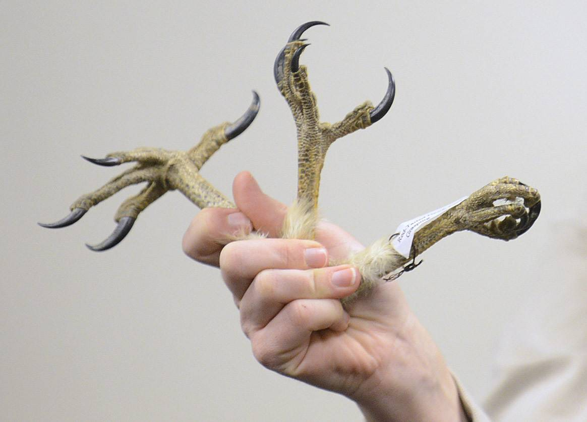 "Naturalist Stephanie Touzalin shows various clawed feet of Red Tailed hawks Sunday during ""Big, Bad and Beautiful: Your Backyard Birds of Prey"" presentation at Willowbrook Wildlife Center in Glen Ellyn."