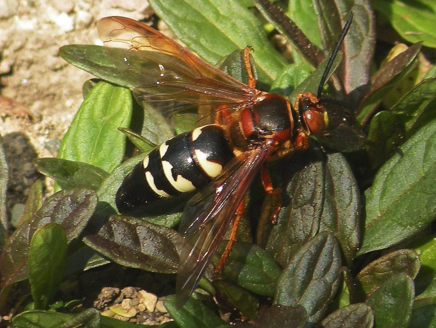 The cicada killer wasp is one of the many species of wasps that can be found in North America.