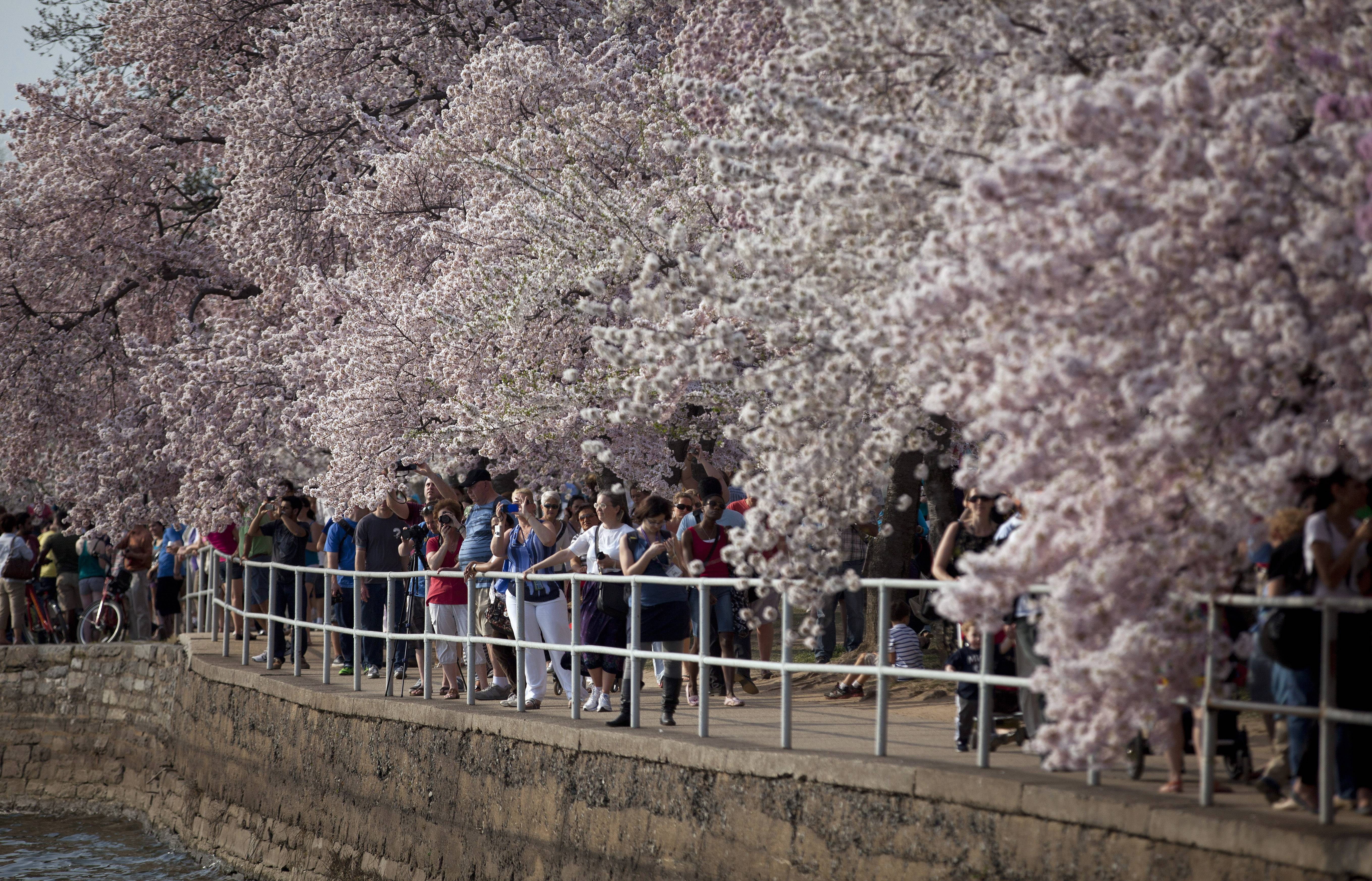 Last year visitors walking along the Tidal Basin in Washington, D.C., were able to enjoy the cherry blossom trees in full bloom on April 10. Washington's famous cherry blossom trees are expected to bring the first sure sign of spring between April 8 and 12, when they're predicted to reach peak bloom.