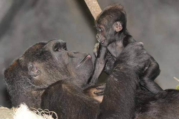A four-month-old baby gorilla at Brookfield Zoo now has a name after the public cast thousands of votes.