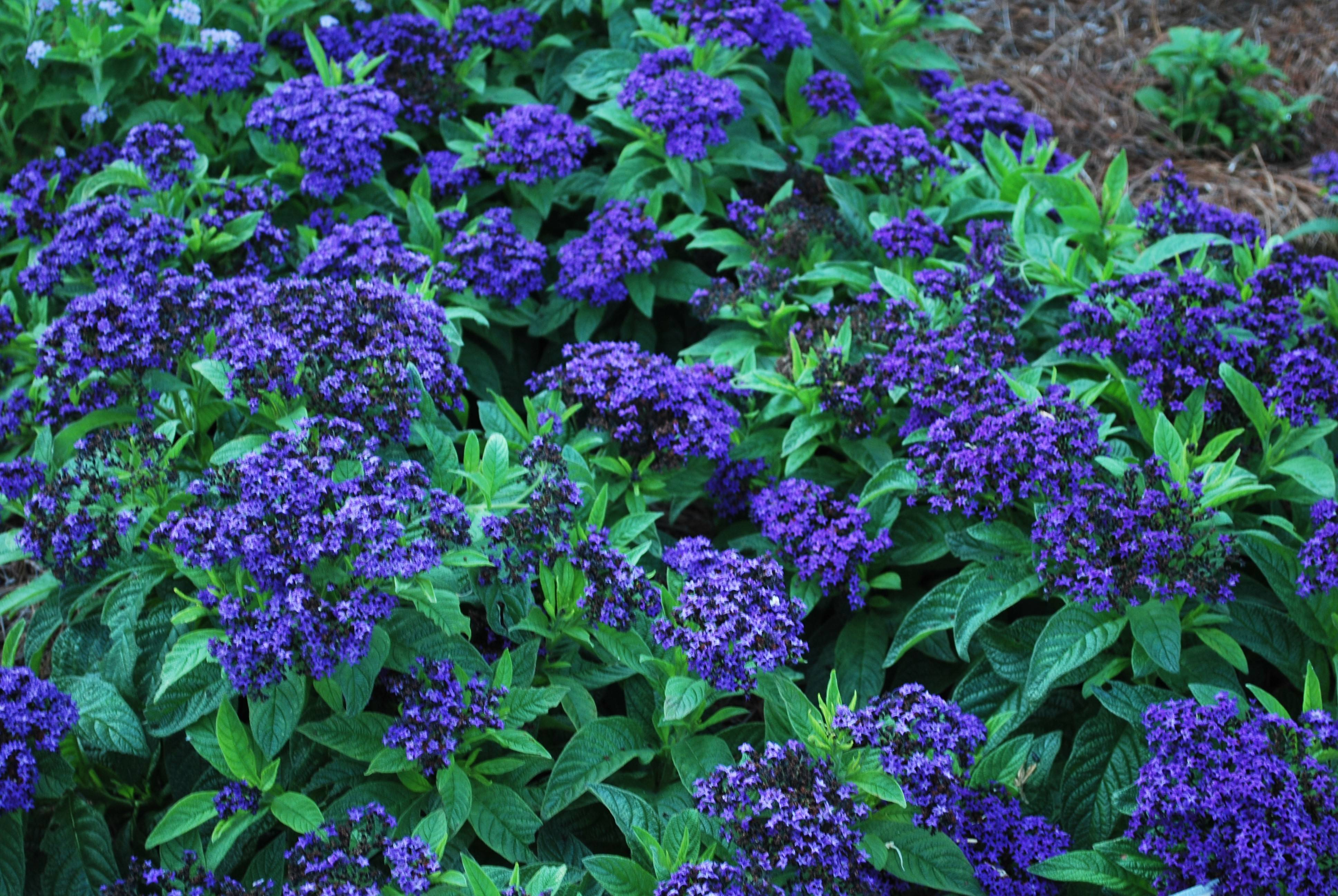 For a fragrant annual, check out Helioptropium Scentopia Dark Blue.