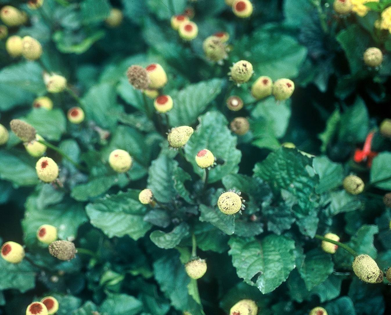 The Eyeball Plant (formal name: Acmella oleracea) is the only annual that looks back at you, Armitage said.