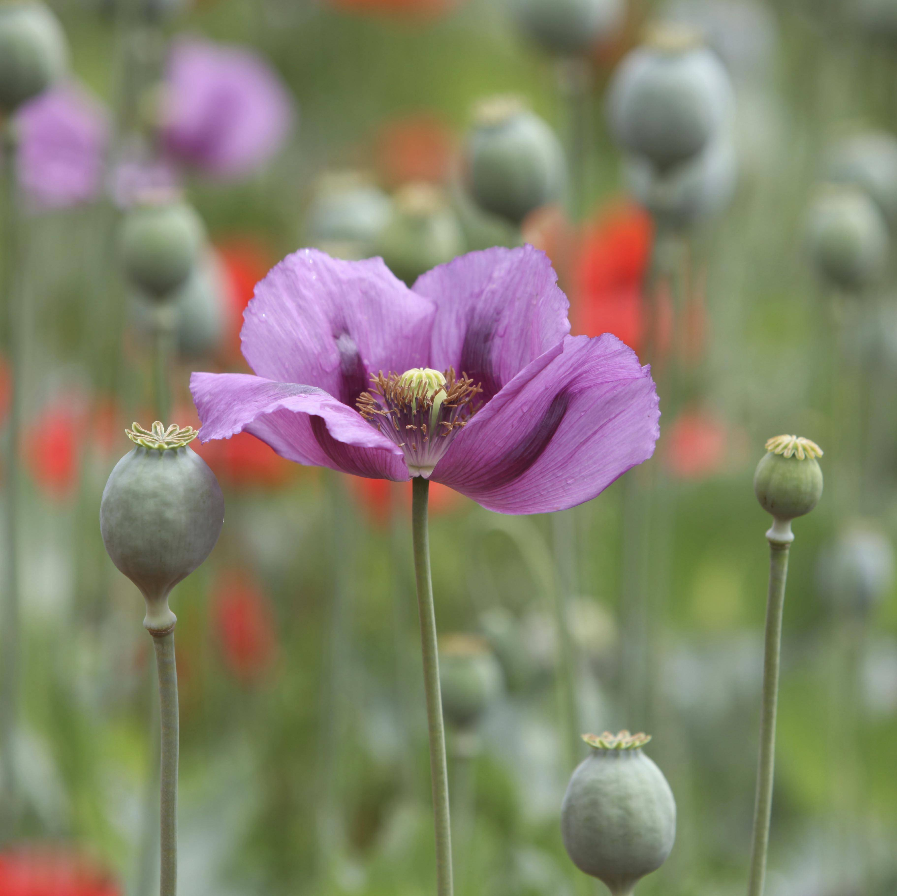 Poppy seeds erupt from the pods left behind after the petals fall away.