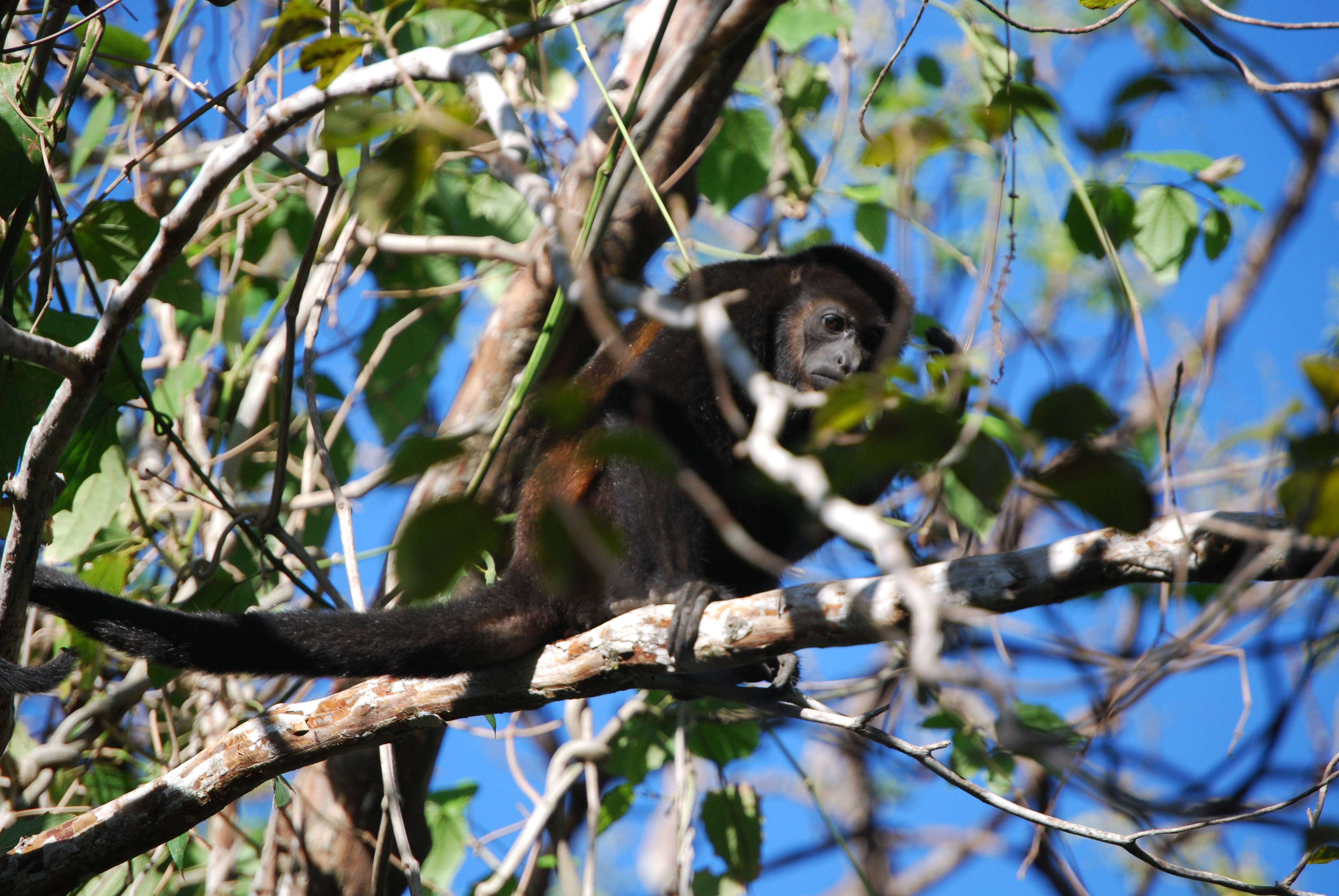 Howler Monkey are a common sight in the tropical dry forest of Nosara, Costa Rica.