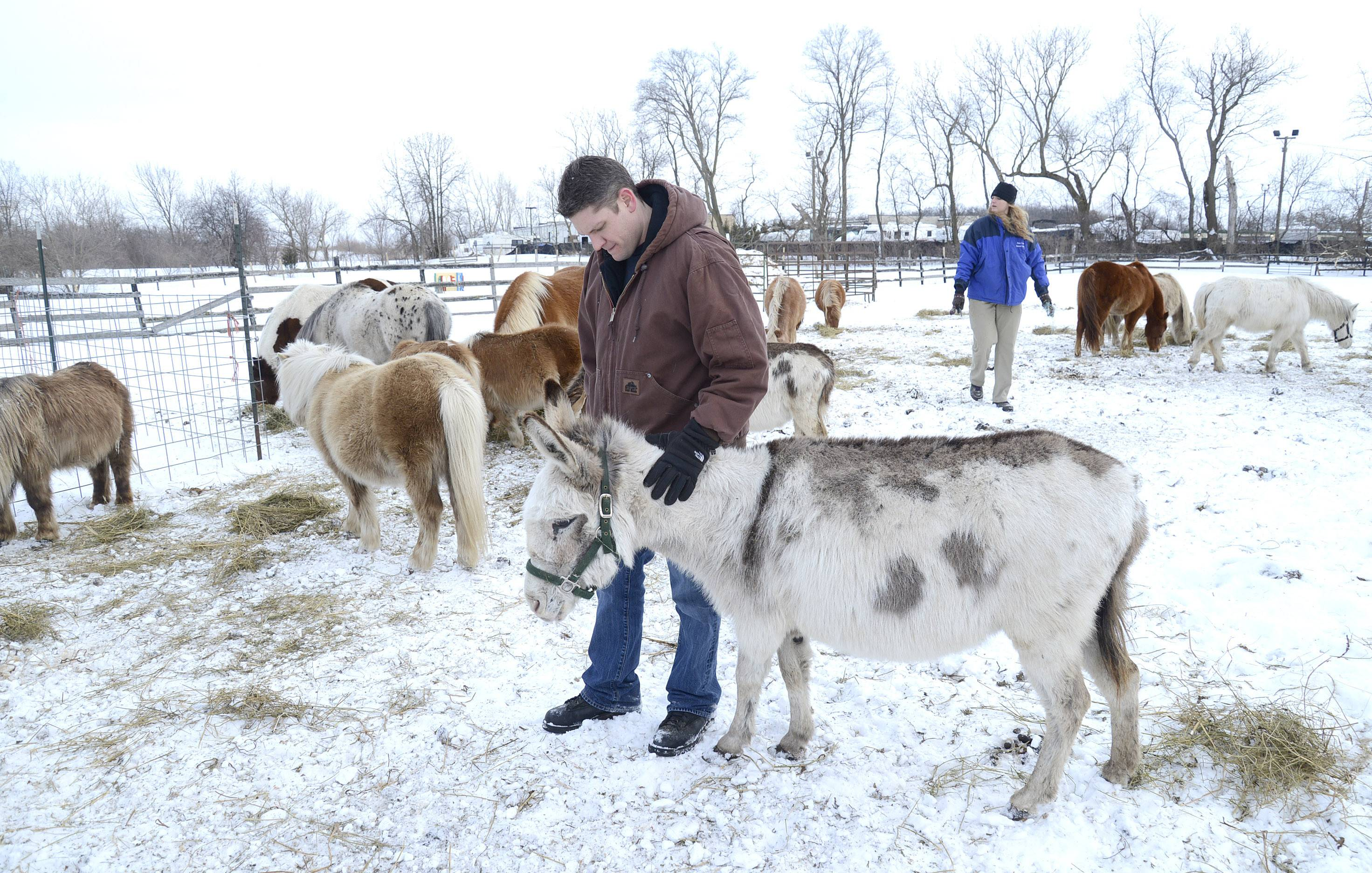 Kane County Animal Control Director Robert Sauceda pets a pregnant donkey Wednesday on a Hampshire farm, as animal control Warden Brianna Leland feeds hay to ponies and horses in one of the fields. Animal Control took over care of the animals Tuesday.