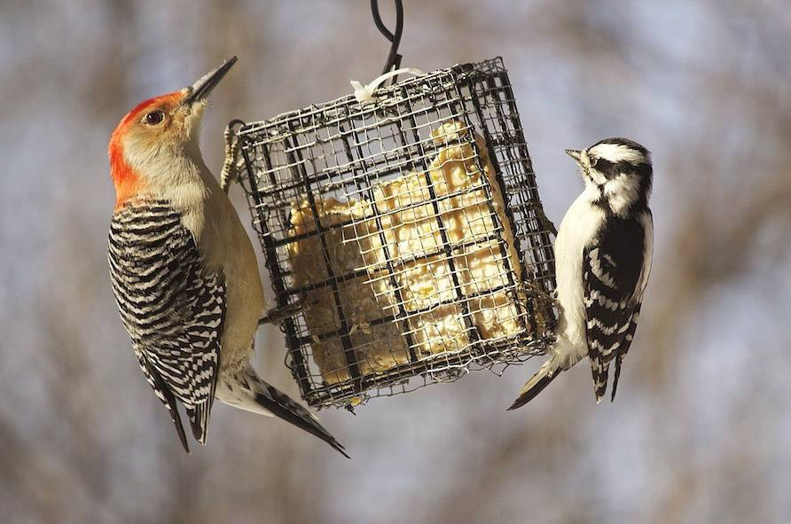 A red-belly Woodpecker is on the suet, feeding, when the black and white smaller one jumped on also on February 9th.