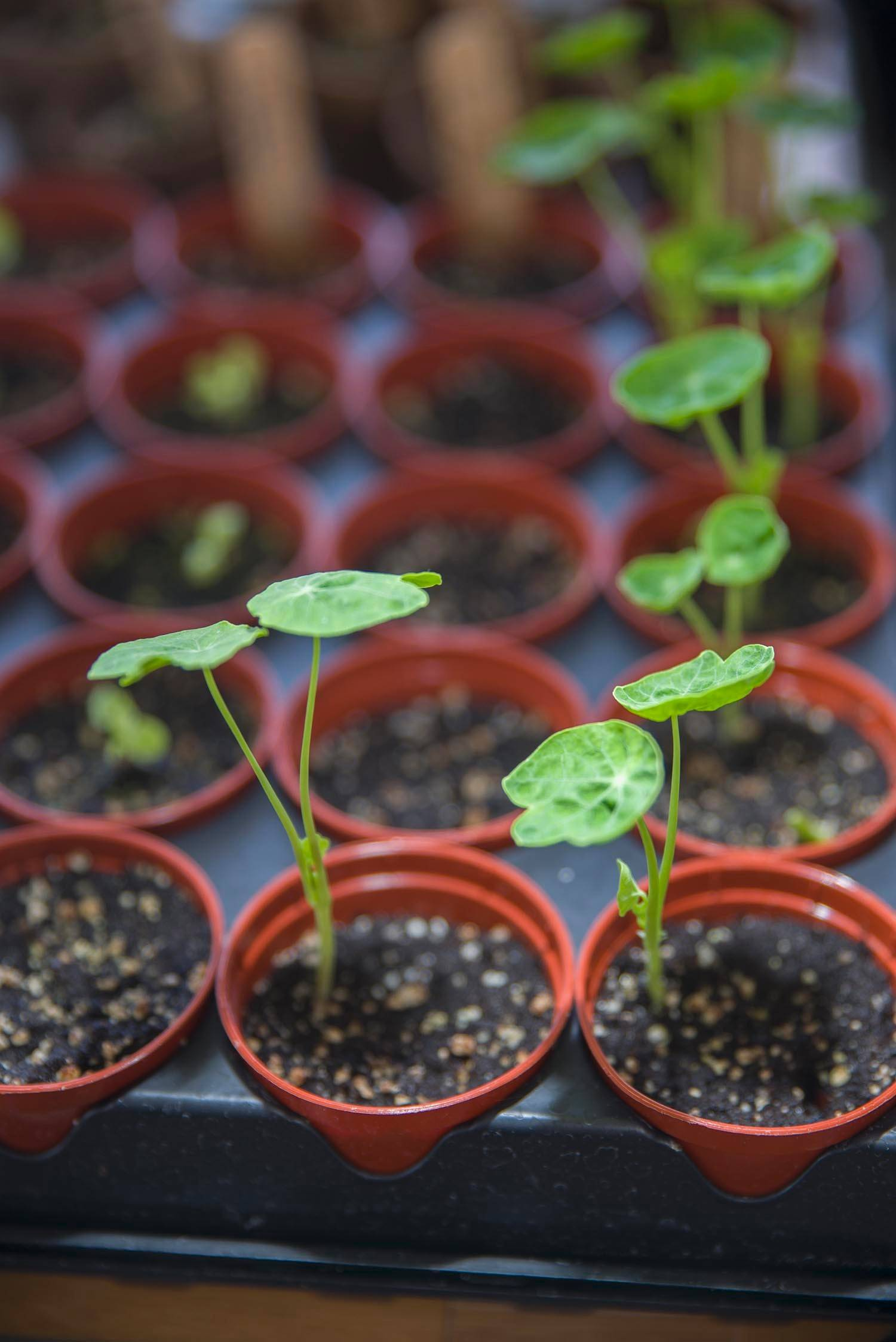 When sowing seeds indoors, keep pots in a warm place until growth appears, then move to a sunny location.