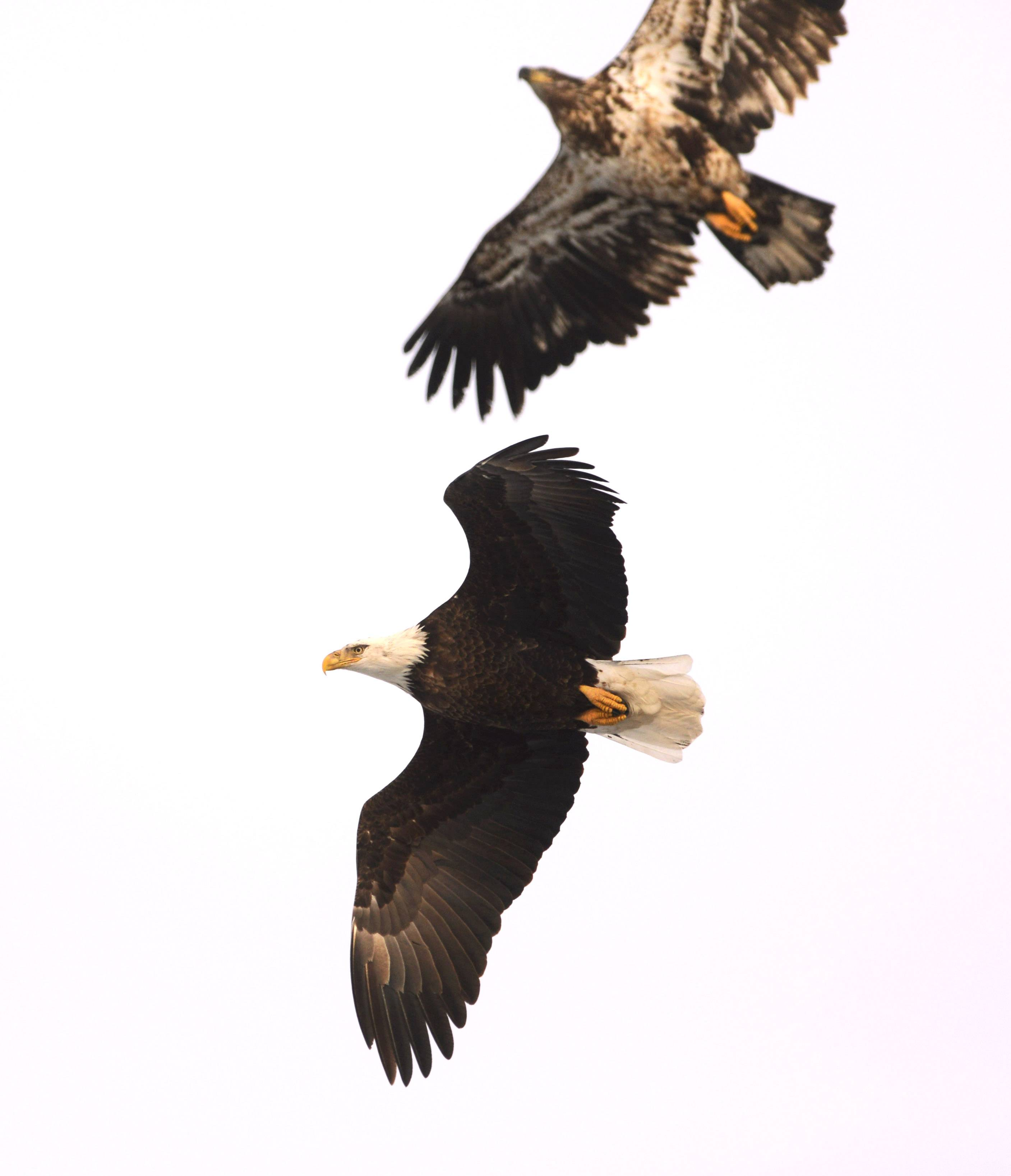 An adult bald eagle soars over Nippersink Lake in Fox Lake as a younger eagle stays close.