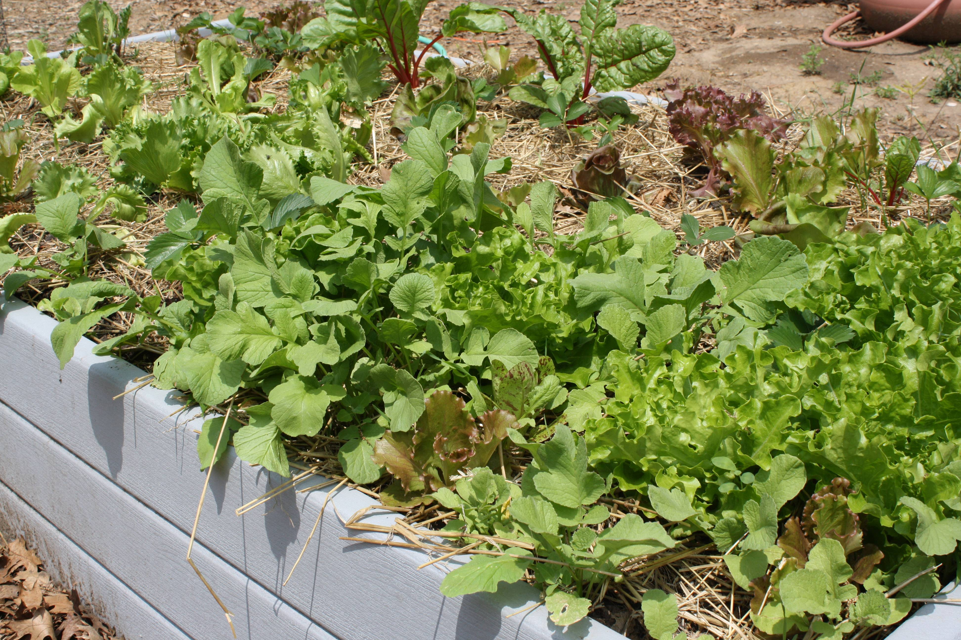 Bear board, a recycled plastic lumber, makes permanent raised beds ideal for raising vegetables.