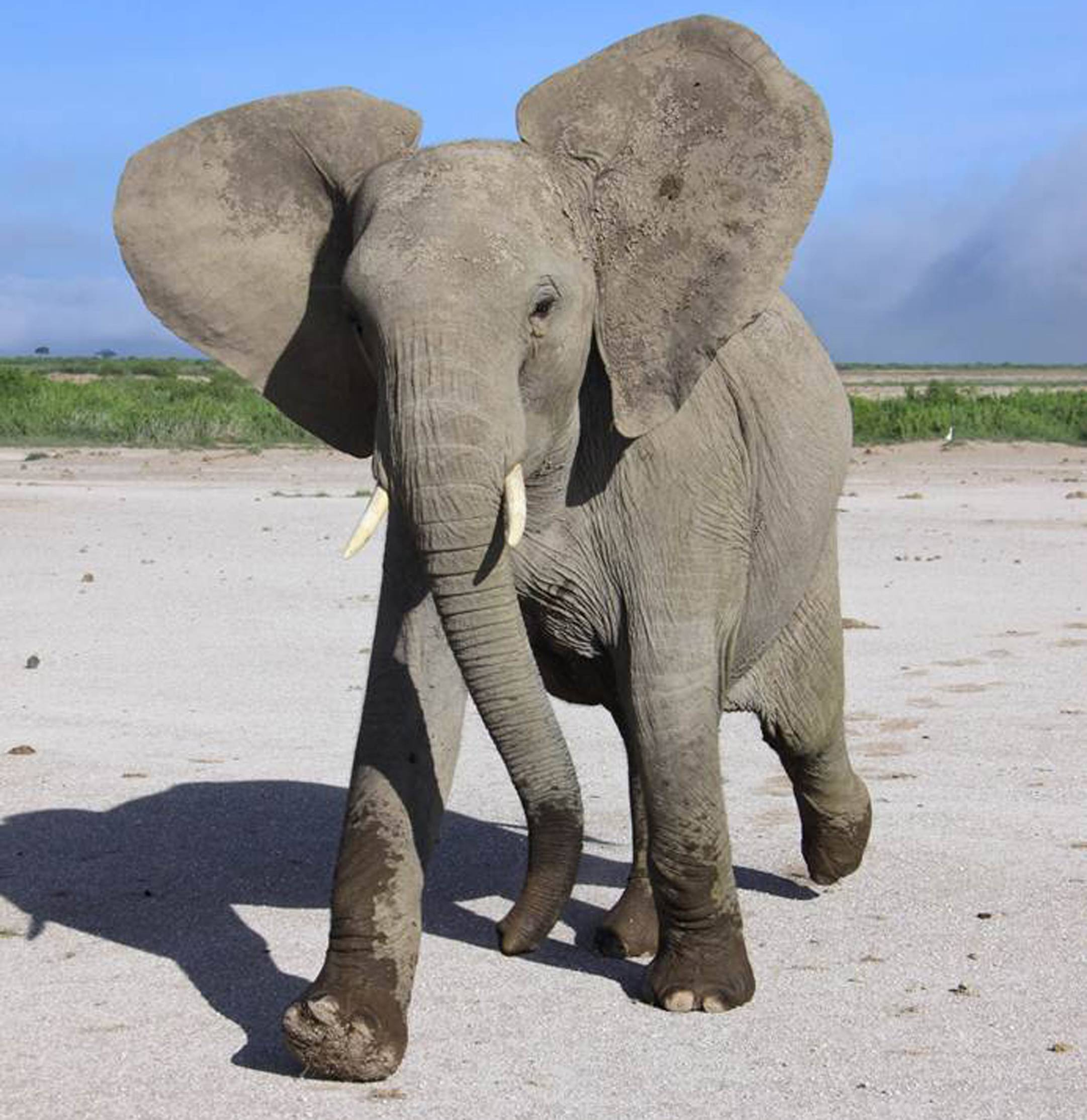 This photo provided by the University of Sussex, taken in April 2011, shows a wild elephant in Amboseli National Park in Kenya reacting to sound played by scientists in experiments that show they can distinguish between human languages and genders. Elephants are so clever they use their famed memory to be discriminating listeners of us humans.