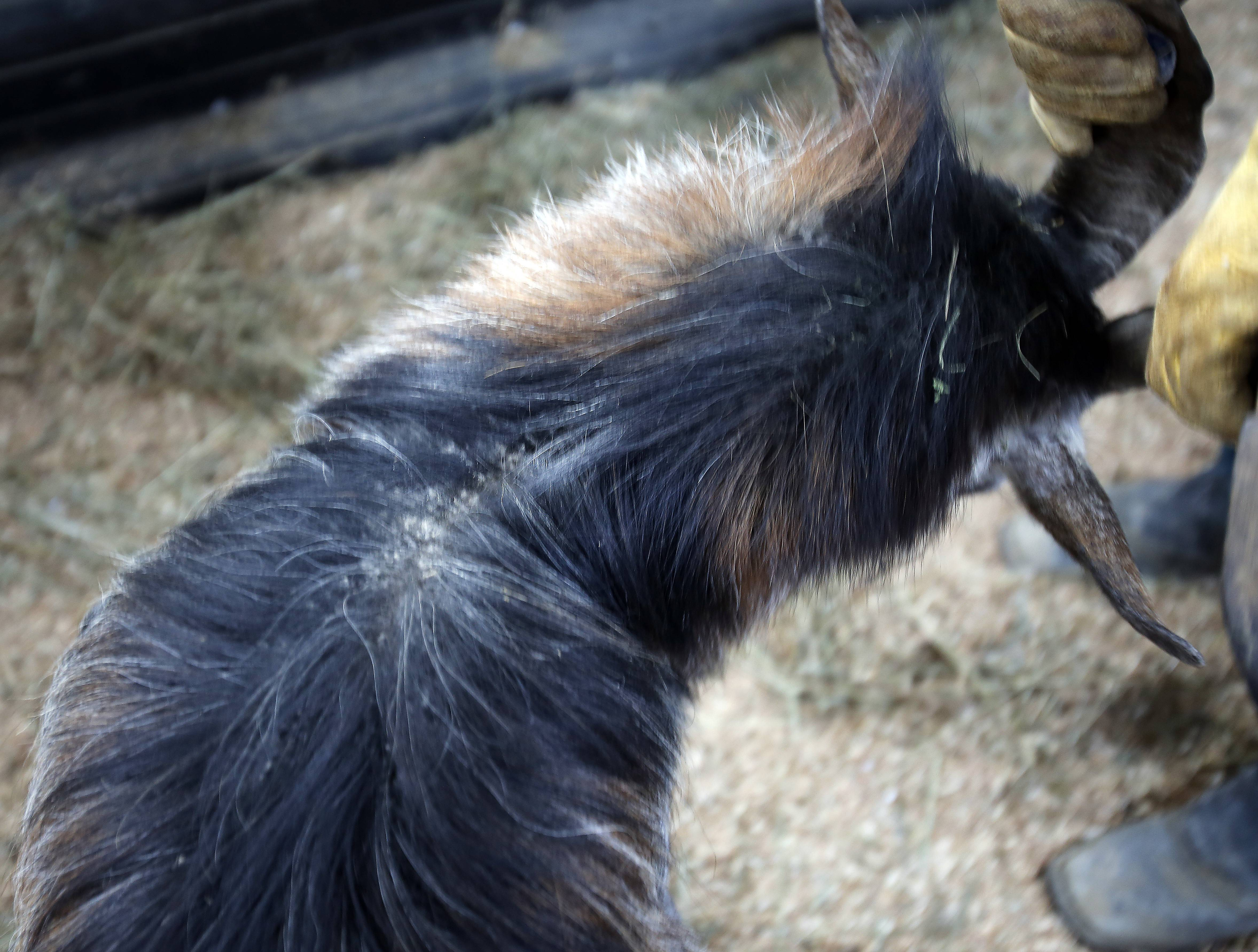Many of the animals such as this billy goat were showing signs of being sick Tuesday in Hampshire.