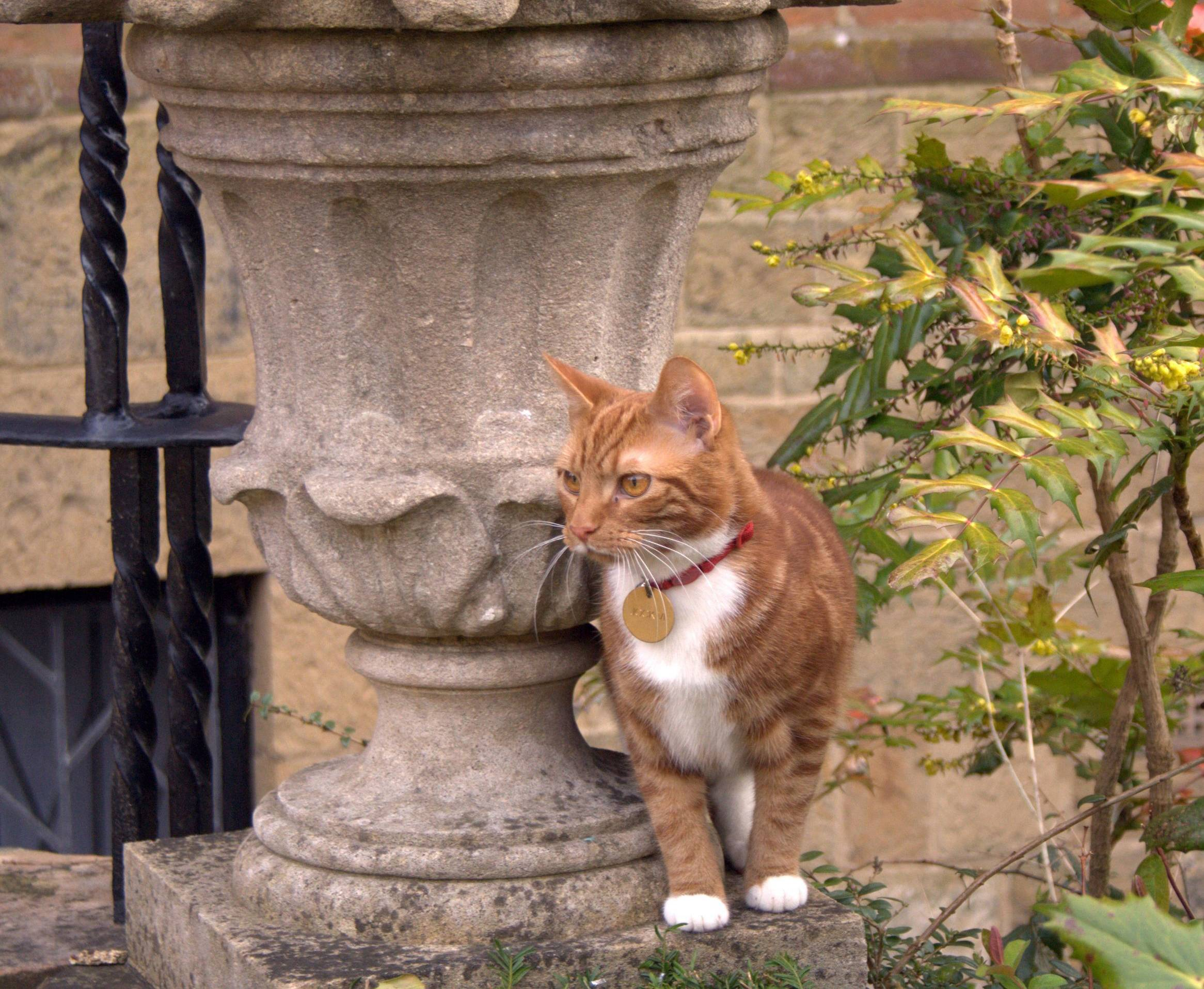 This is Jock VI, the new kitten who has taken up residence at Sir Winston Churchill's former country home in southern England to honor a request made by the ex-prime minister and his family.