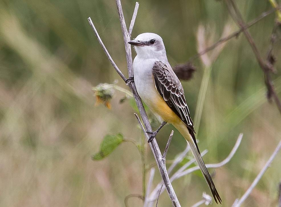 Scissor-tailed flycatcher, the state bird of Oklahoma, is another south central Florida specialty, coveted by local and visiting birders alike.