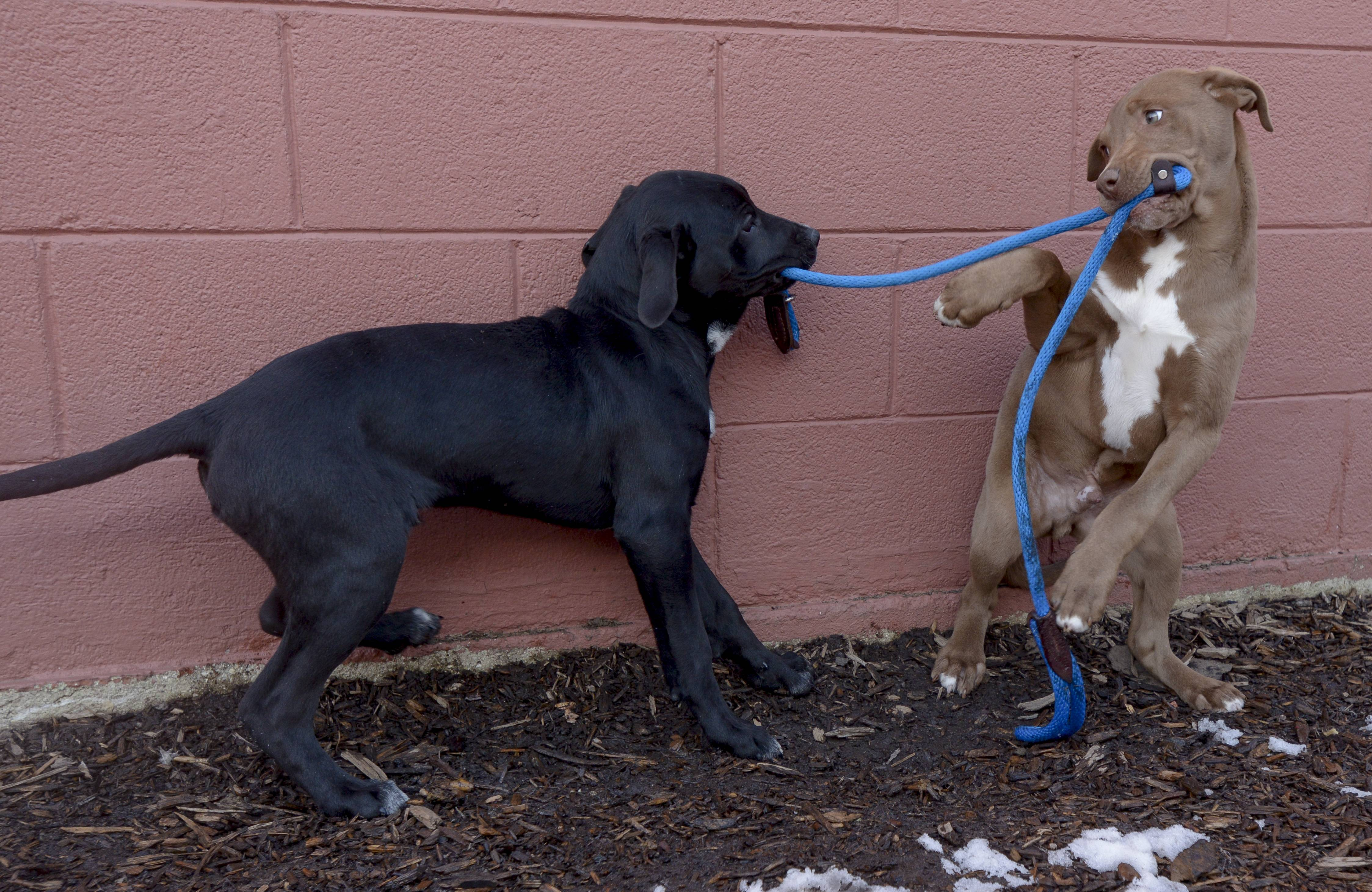 Rescue puppies play in the dog run at the Dog Patch in Naperville, which offers rescued dogs and cats for adoption. Animal welfare groups are hoping suburban communities follow Chicago's lead and ban the sale of dogs from for-profit breeders.