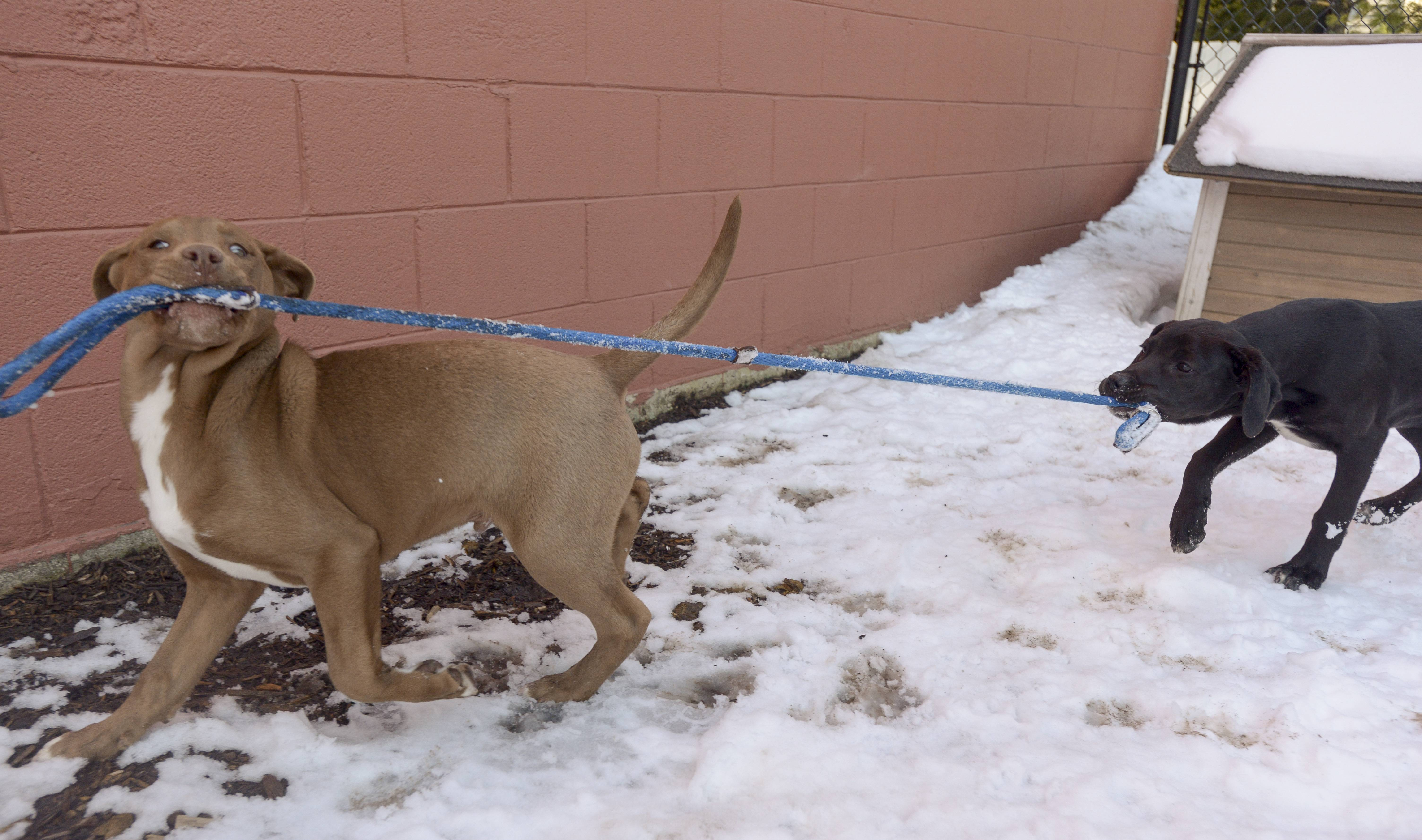 Rescue puppies play in the dog run at the Dog Patch in Naperville. The Dog Patch only offers rescued dogs and cats for adoption. Animal welfare groups are hoping suburban communities follow Chicago's lead and ban the same of dogs from for-profit breeders.