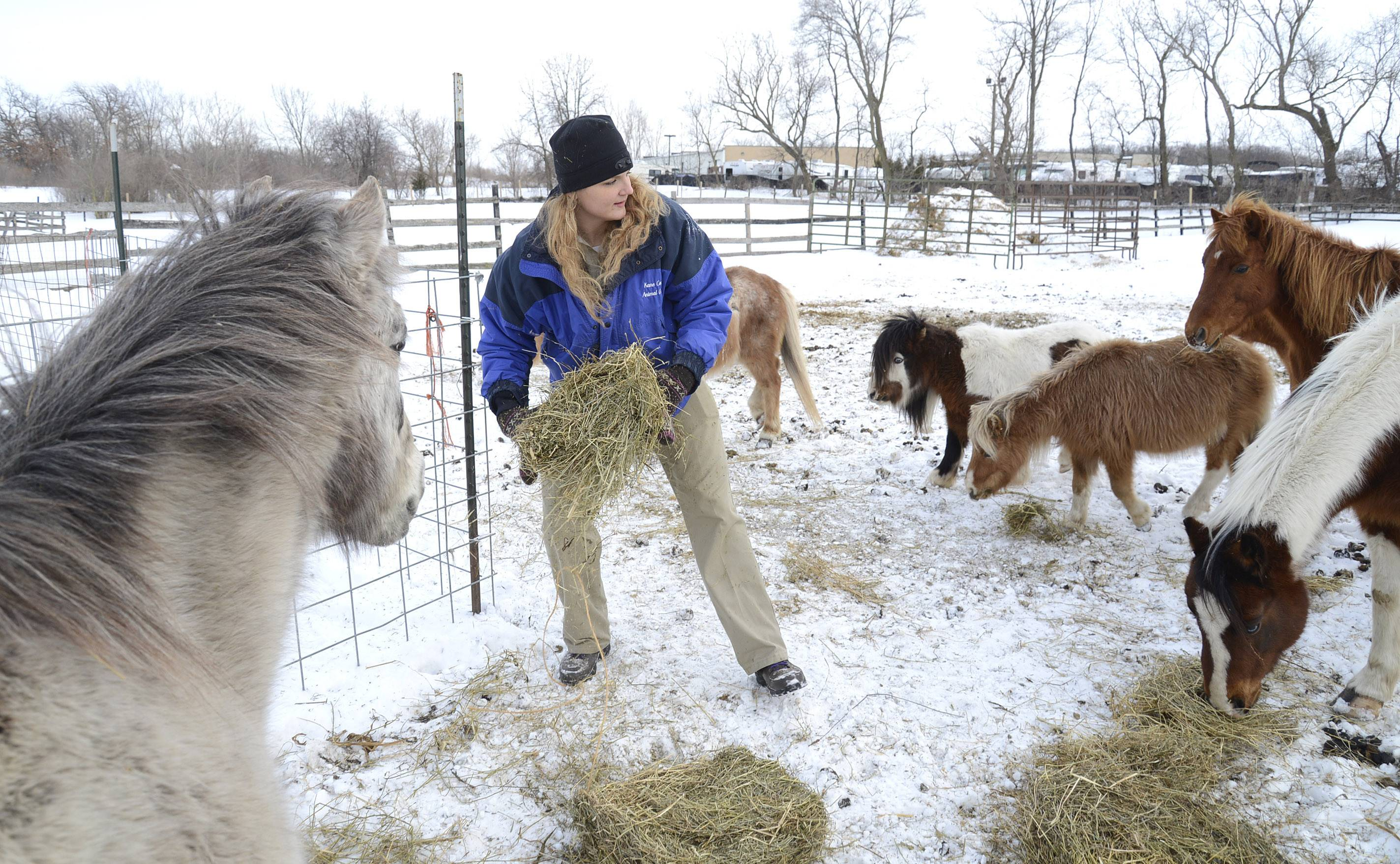 Animal County Animal Control Warden Brianna Leland feeds hay to animals in unincorporated Hampshire on Wednesday. They had been feed several times and each time she walked in the animals immediately approached her for more. Stacey Fiebelkorn, of Elgin, has been charged with animal cruelty after Kane County Animal Control authorities discovered several dead animals, including a pony, donkey, goats, chickens, and more at the address. A dead horse and horse fetus were found at the other address she uses in Maple Park.