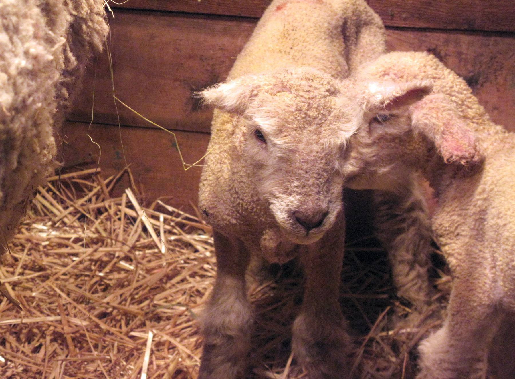 Newborn lambs greet visitors this spring at Kline Creek Farm in West Chicago.