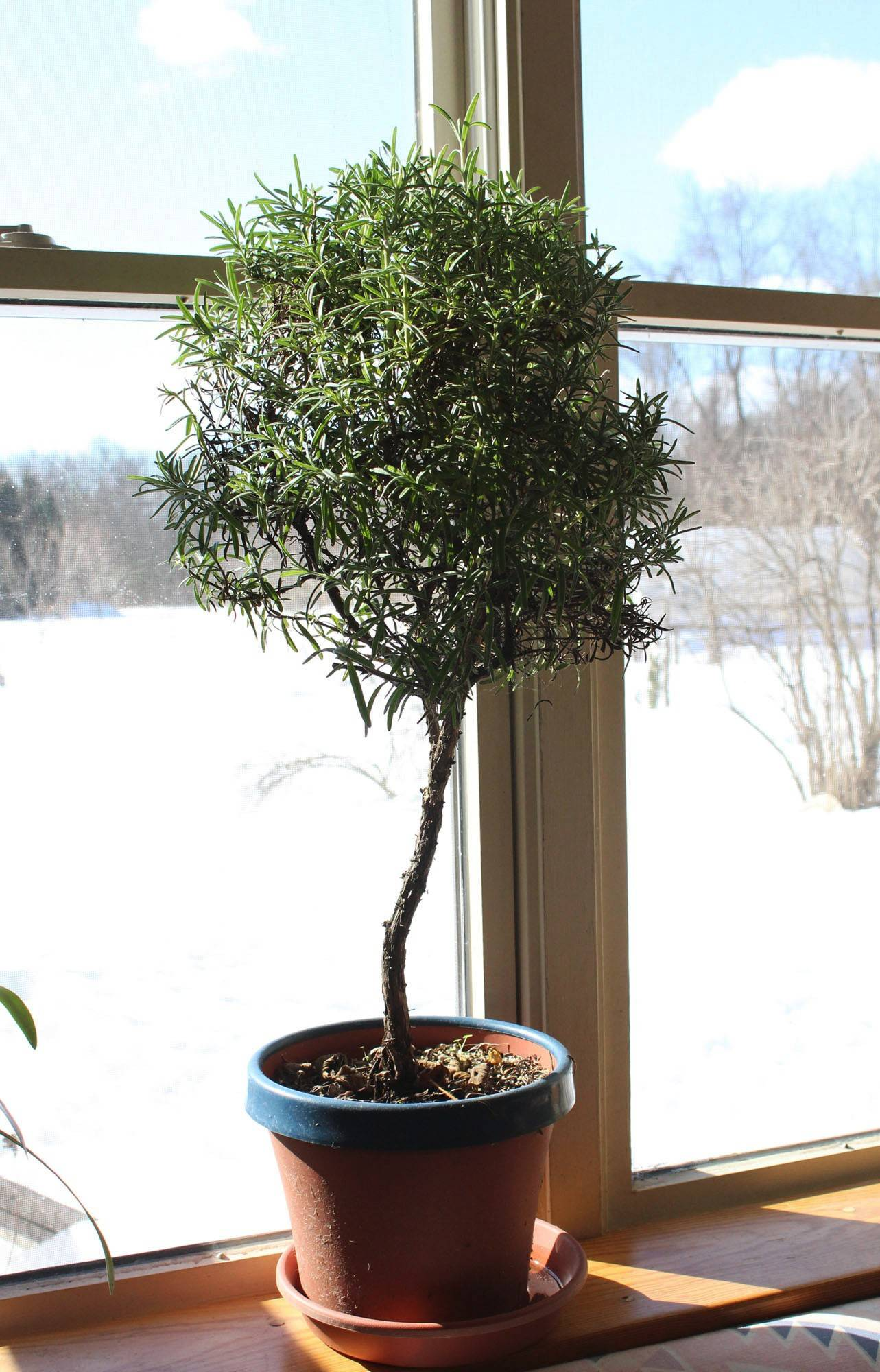 "A small rosemary ""tree"" sits on a windowsill and provides beauty, fragrance and flavoring for the kitchen despite the snowy background."