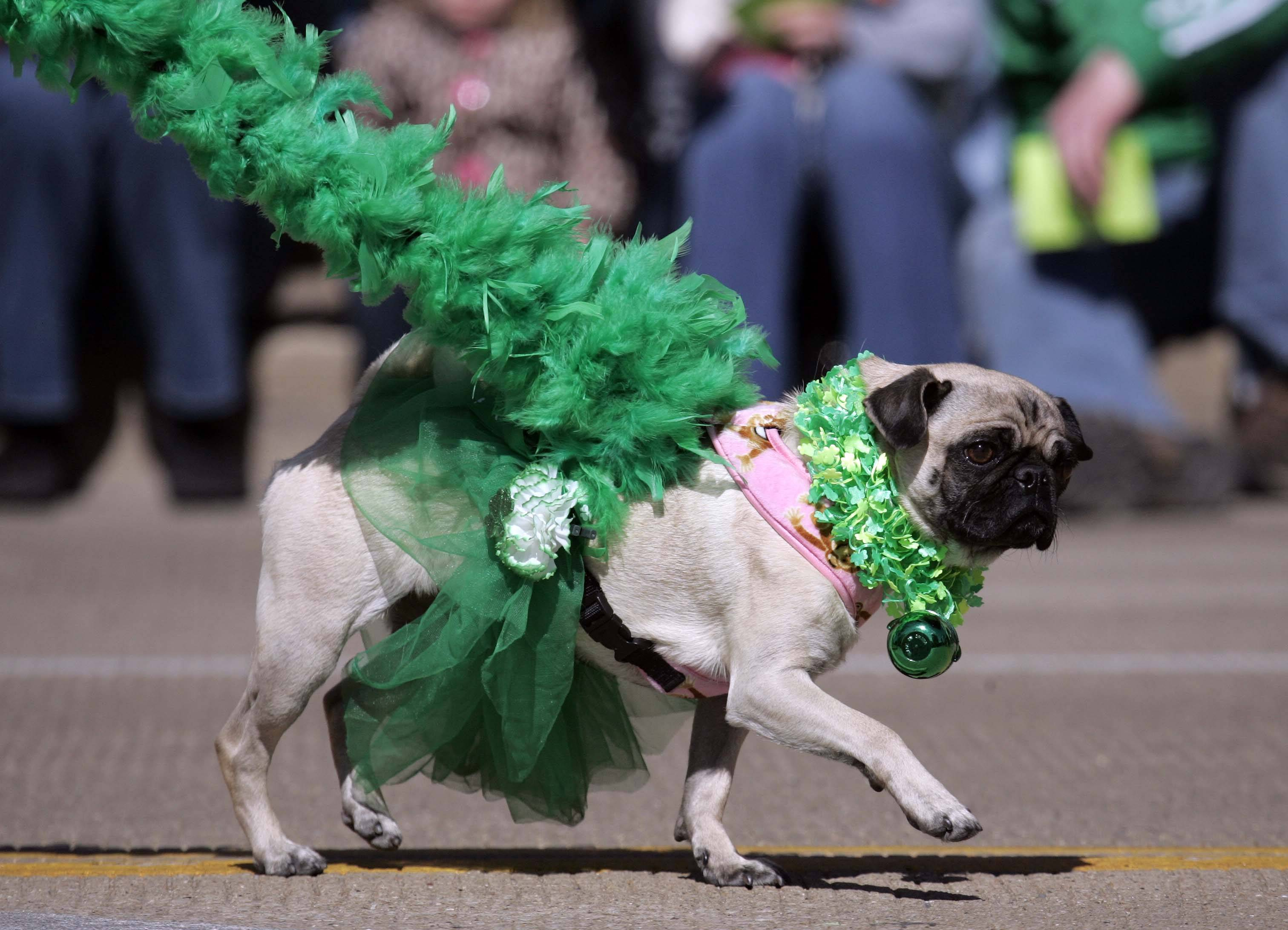 Lexi Ryan, a pug, from St. Charles is all decked out for the dog costume contest at the 2012 St. Patrick's Day parade in St. Charles.