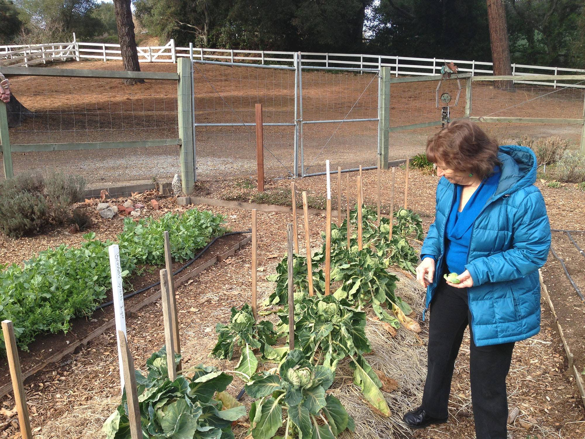 In one of her two trial gardens at her home in Santa Cruz, Calif., seed catalog owner Renee Shepherd evaluates a new Dutch variety of Brussels sprouts.