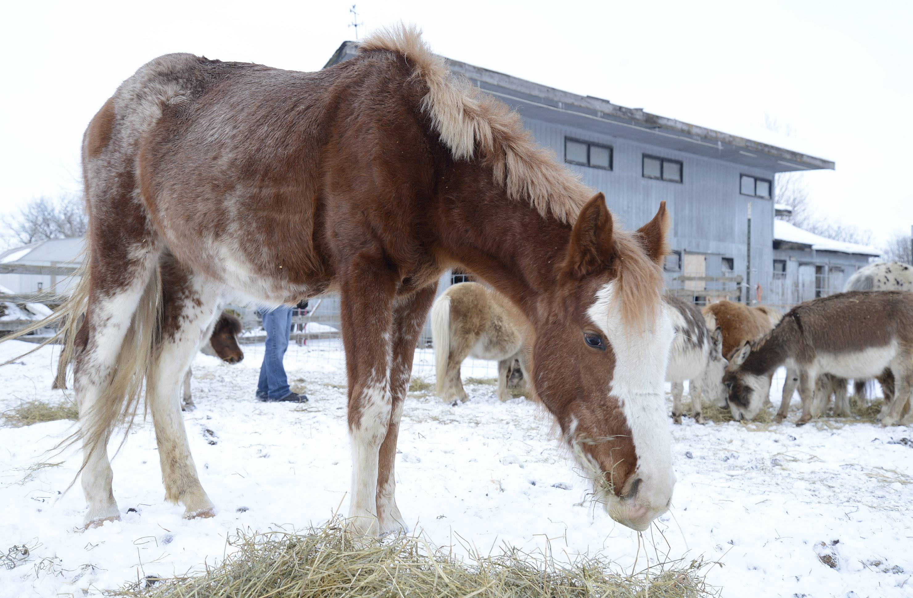 A horse feeds on hay at a farm in Hampshire March 5. Kane County animal control officials took over care of it and dozens of other animals last week, and their owner has been charged with animal cruelty and failure to provide proper care.