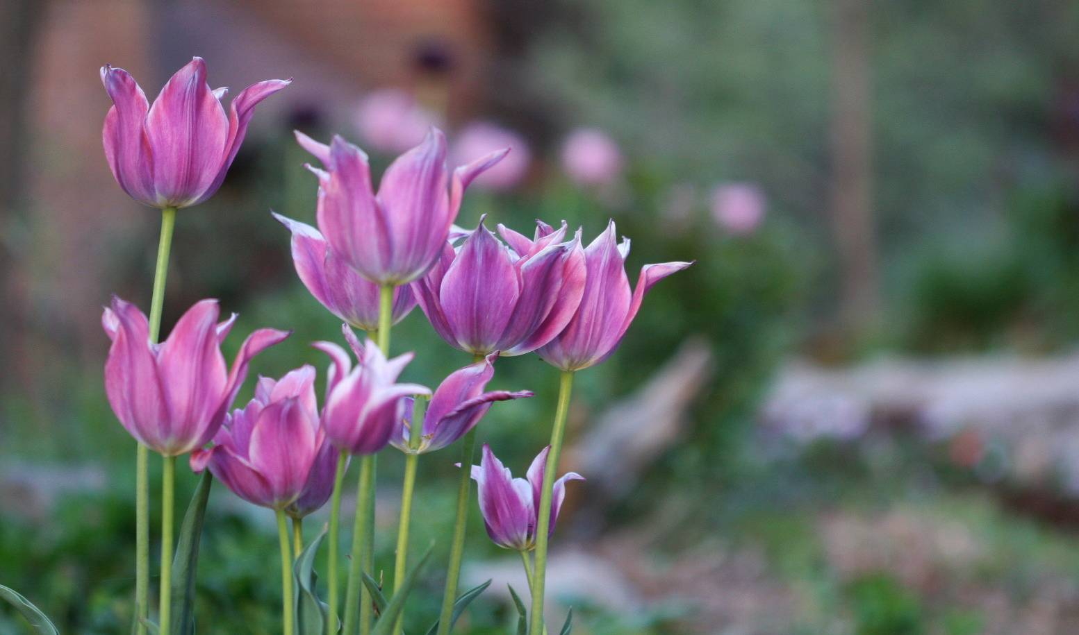 Spring flowering bulbs can be cut back after they bloom, but premature pruning will see them return with fewer and smaller blossoms. That includes tulips, daffodils, hyacinths, crocus, alliums and specialty varieties.