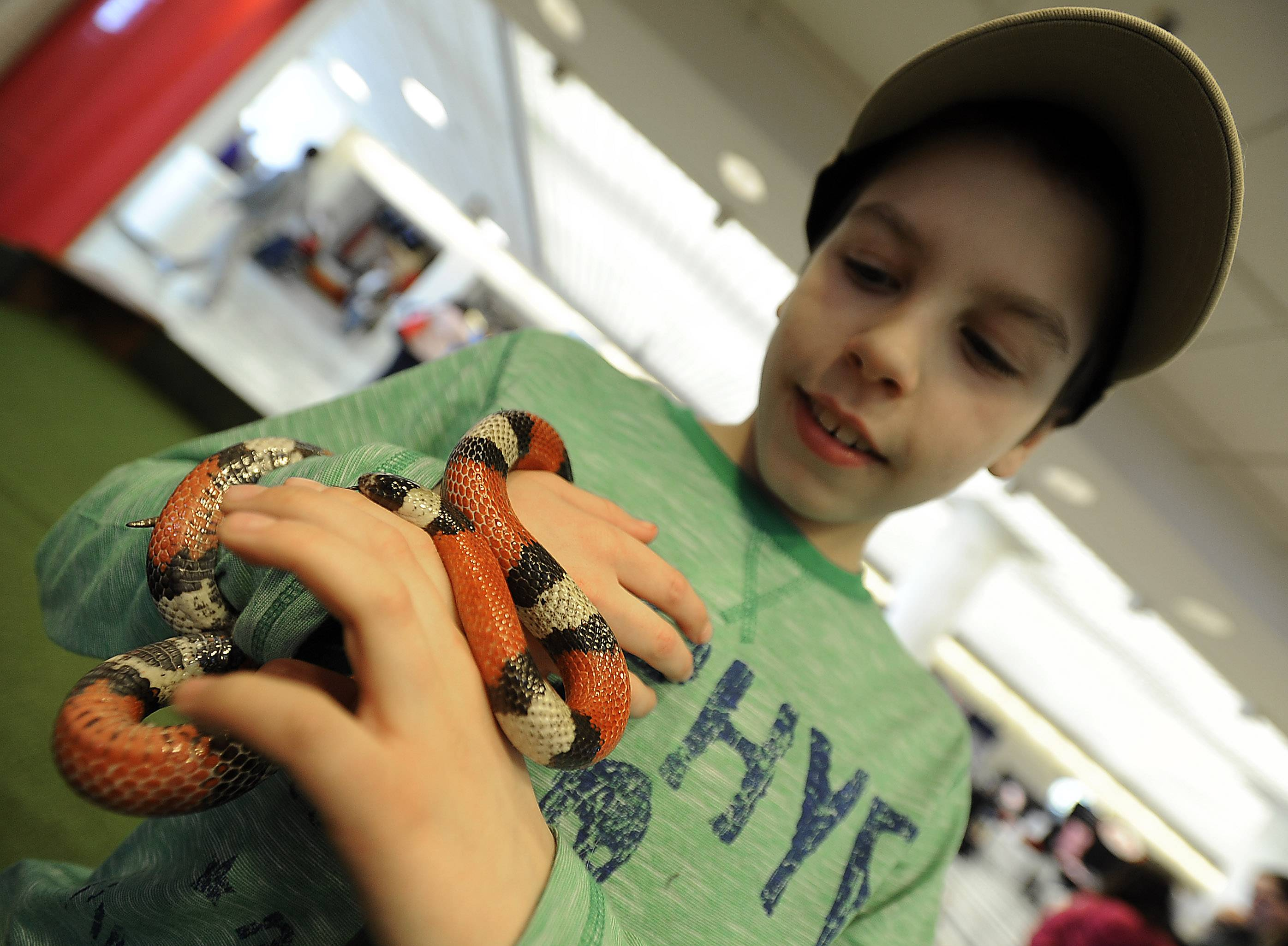 Gabriel Stefanski, 11, of Round Lake holds a milk snake for the first time in his life Friday at the Chicagoland Family Pet Expo at Arlington Park. This snake kept trying to hide in his shirt.