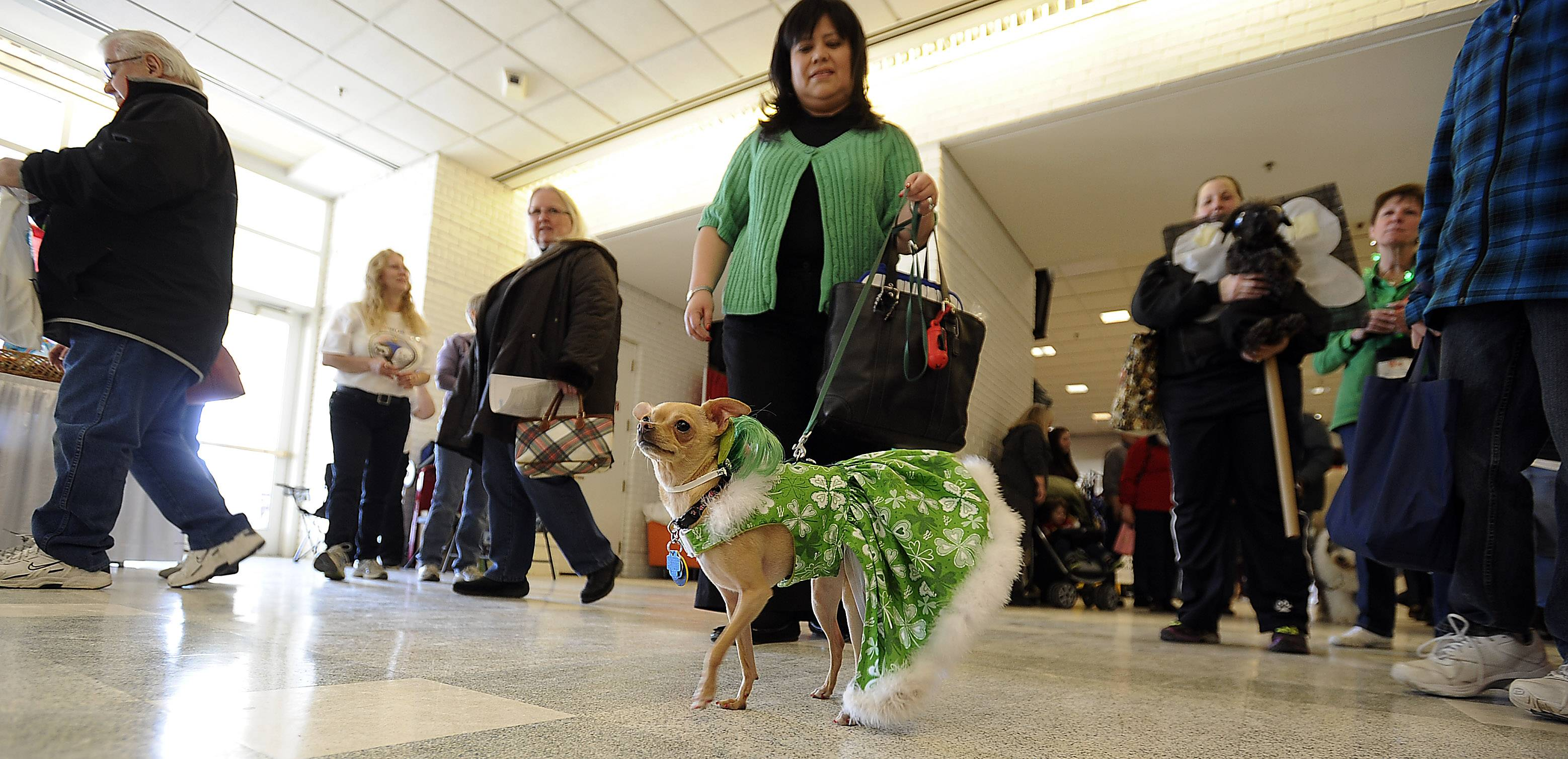 Pita the Chihuahua was a big hit during the Pet Parade as owner Linda Trevino-Garcia shows her off to the crowd Friday at the Chicagoland Family Pet Expo at Arlington Park.
