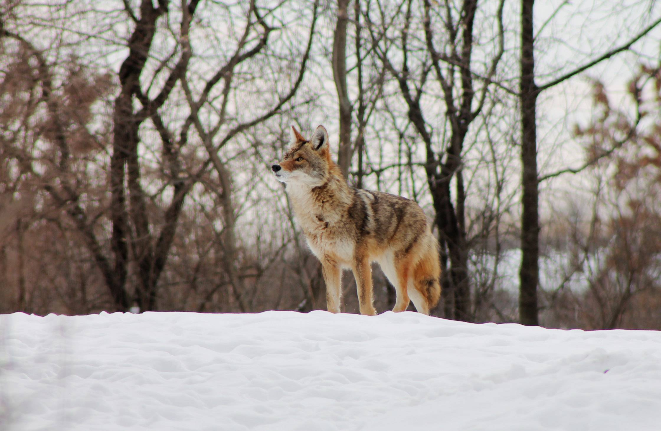 A coyote finds its way into a Hawthorn Woods yard last week.