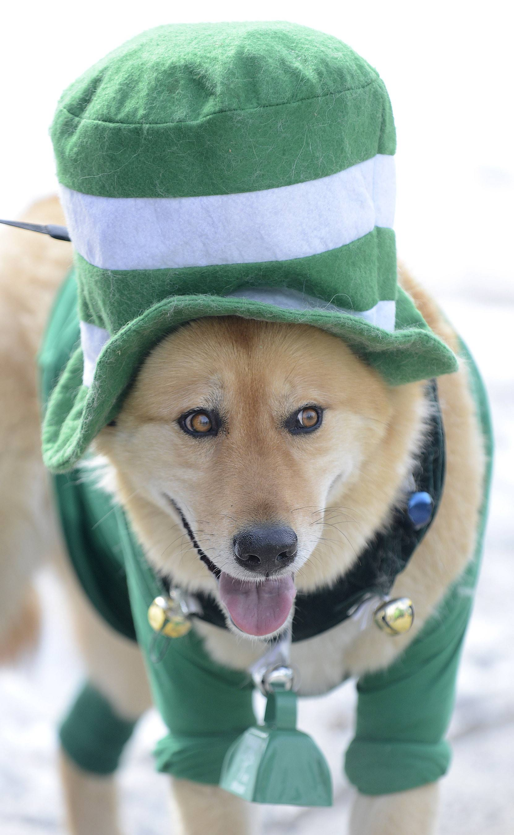 A dog named Seamus Patrick, 6, owned by Mary Ann and Steve Smunt of St. Charles, waits to walk with other dogs with the St. Charles Veterinary Clinic in the St. Patrick's Day parade in St. Charles on Saturday.