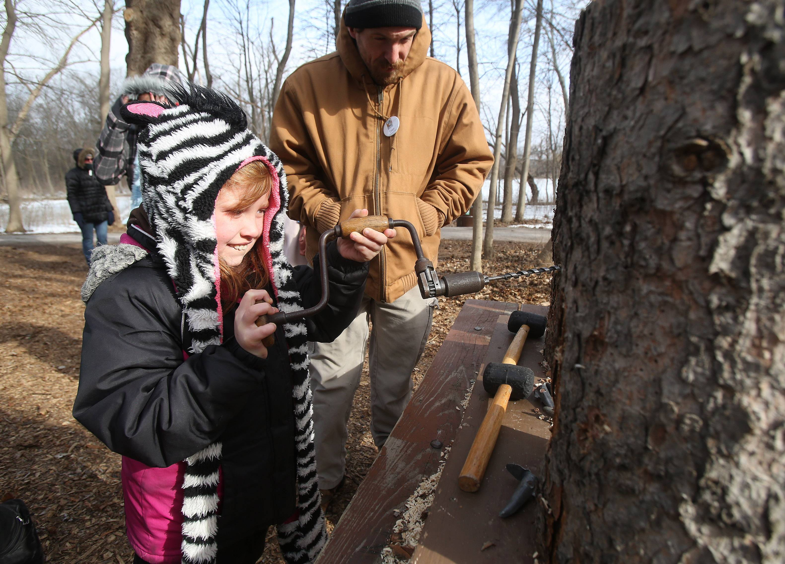 Colleen Wallace, 10, of Hoffman Estates drills a hole in stump to put in a maple tap Sunday during the 30th annual Sugar Bush Fair at the Spring Valley Nature Center in Schaumburg. The fair featured a pancake breakfast, maple syrup production, pioneer sugar camps, a puppet show and hayrides.