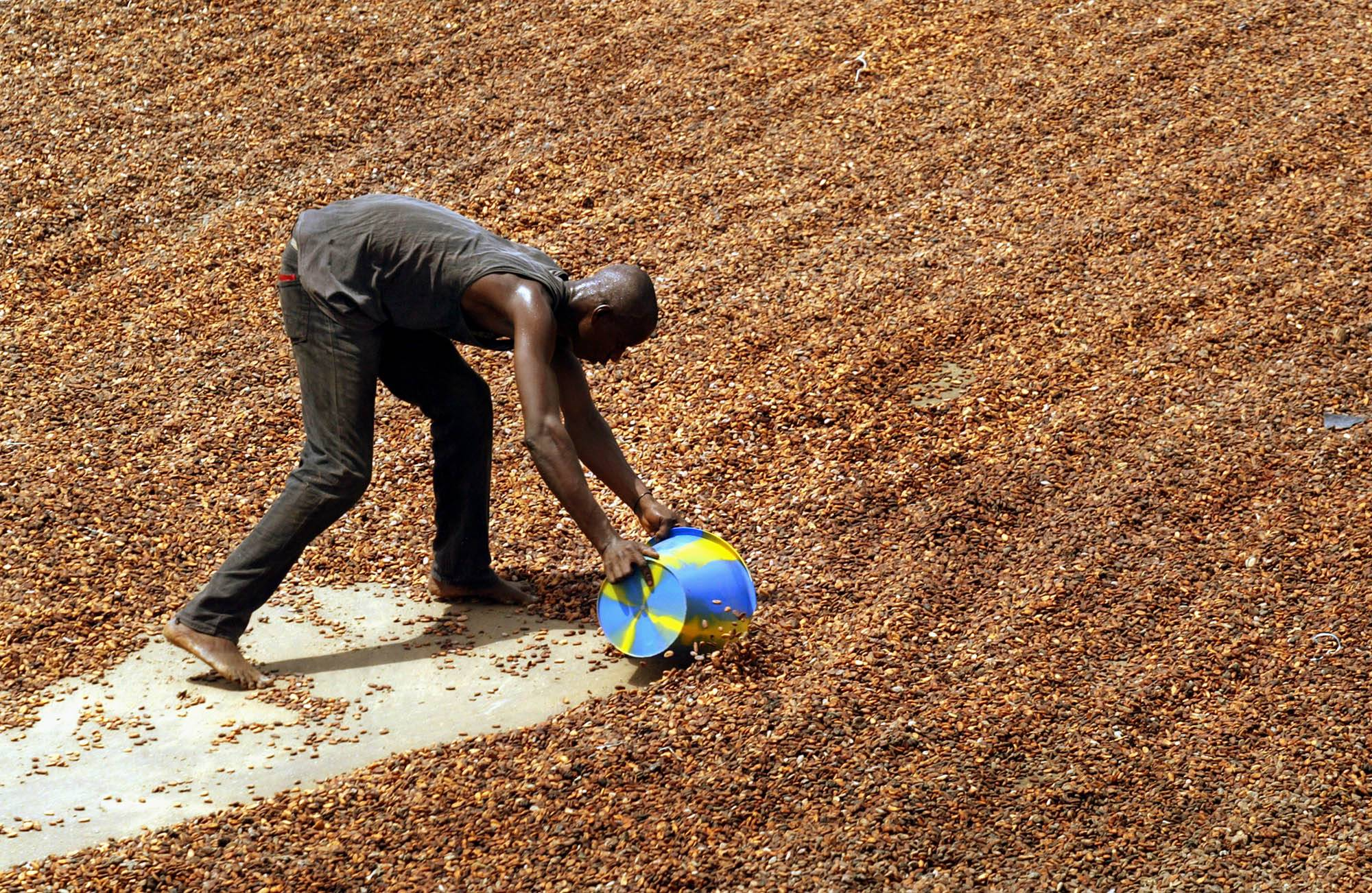 A worker collects sun-dried cocoa beans to be put into into sacks for export in Guiglo, Ivory Coast. A large-scale study is being launched in 2014 to see if pills containing the nutrients in dark chocolate can help prevent heart attacks and strokes.