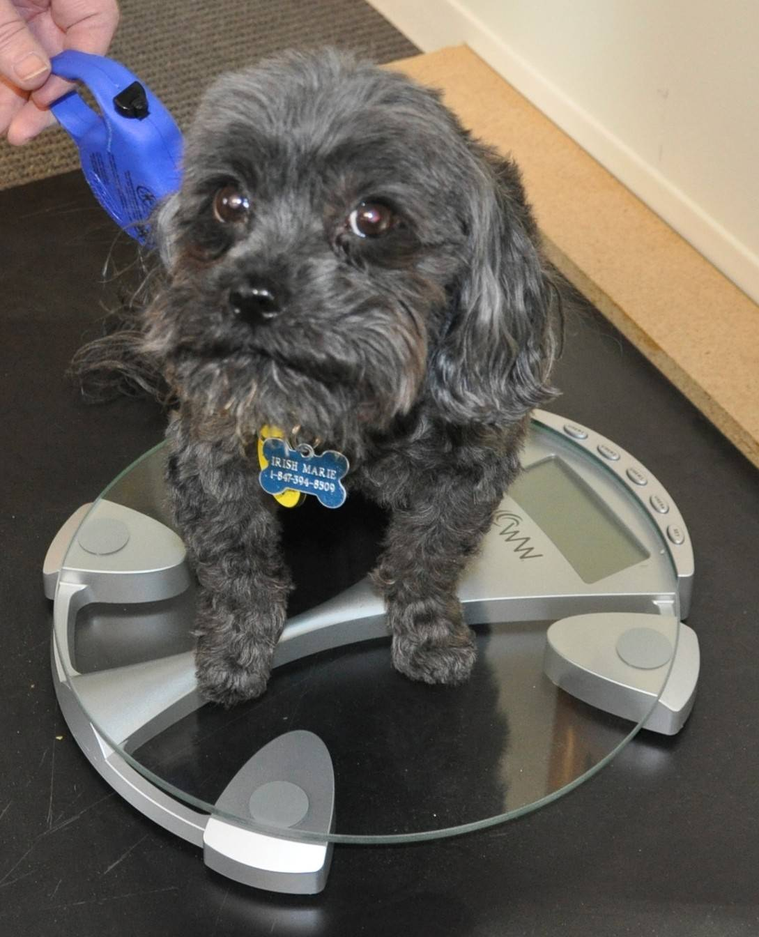 JourneyCare Team Mojo's mascot, Irish Marie, weighed in at a svelte 9 pounds. In addition to supporting the Fittest Loser team, she serves as a therapy dog.