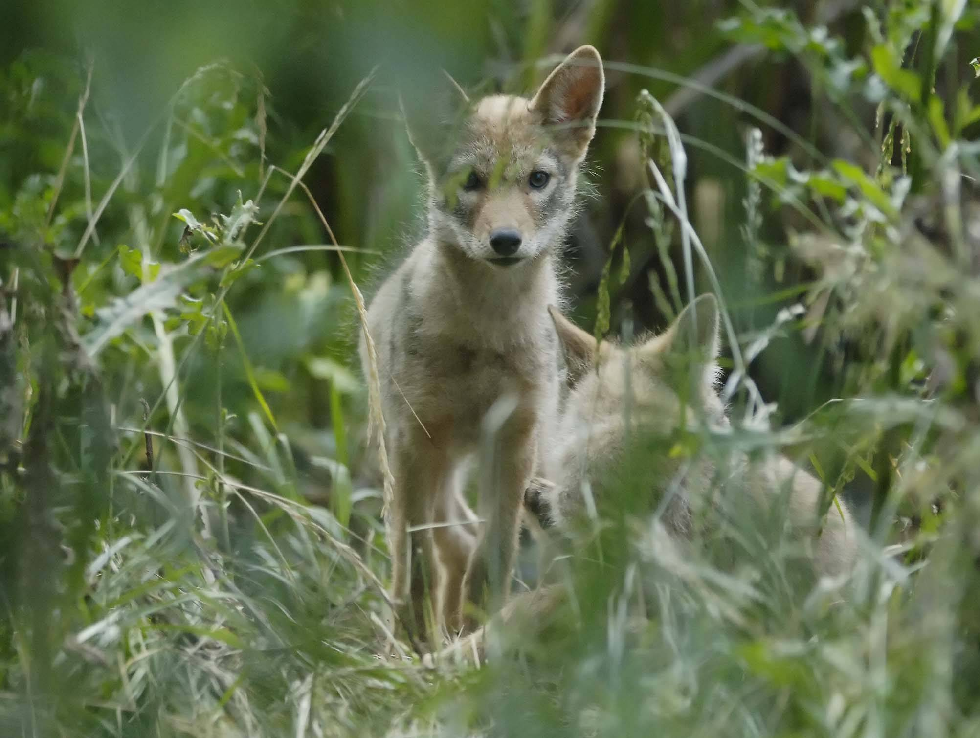 The coyote population is on the rise in many communities because of increased development and other changes that bring the usually shy animals in closer contact with humans.