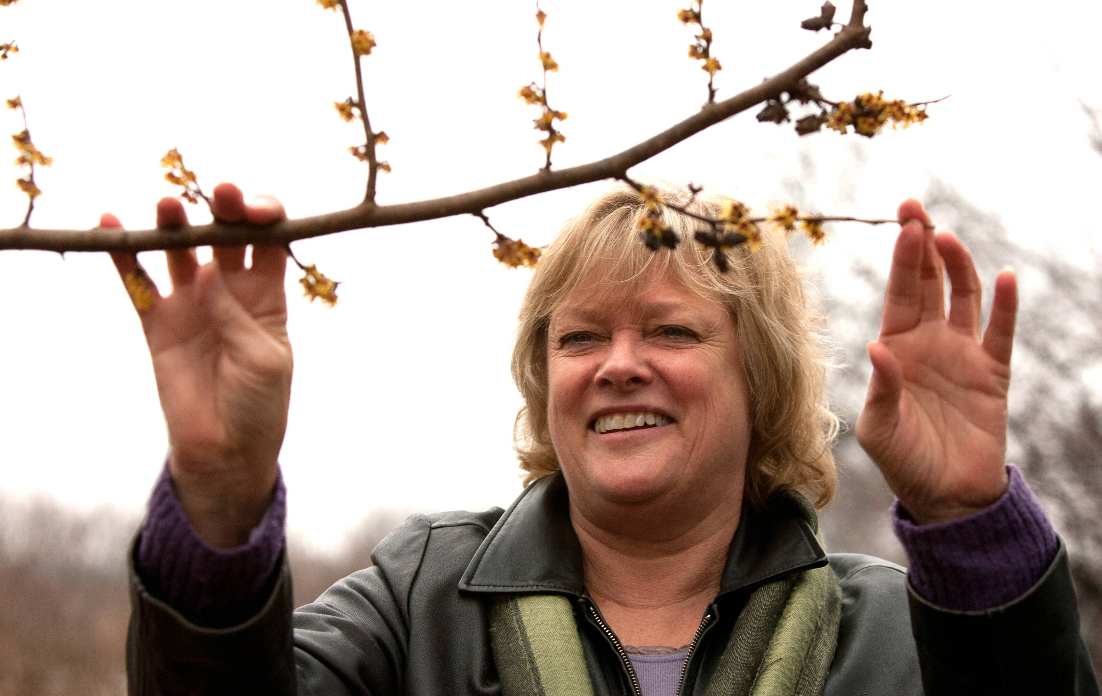 Small but making a big statement, these blooms on a witch-hazel tree Wednesday are one of the traditional first signs of spring for Doris Taylor, manager of the plant clinic at Morton Arboretum in Lisle.