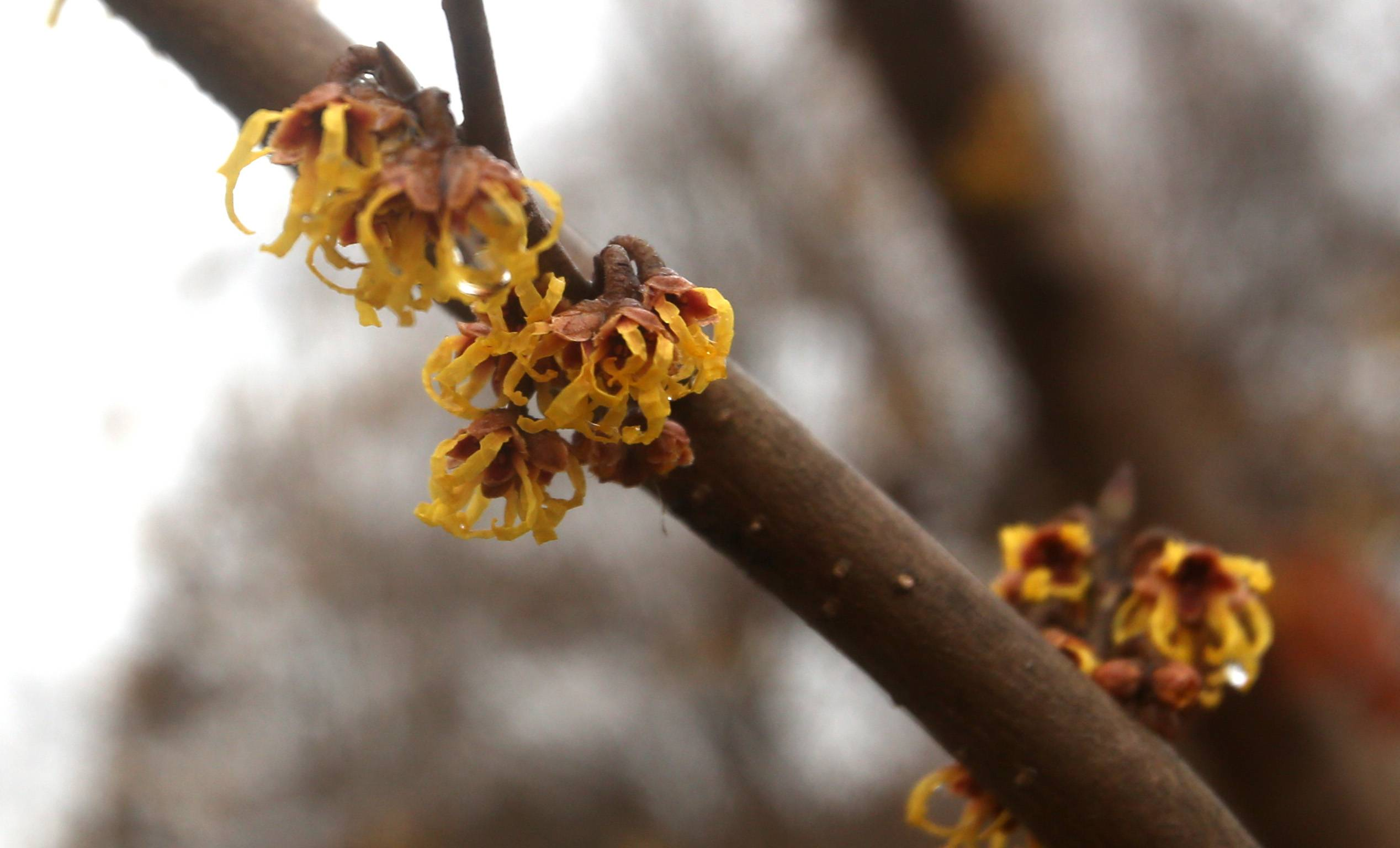 The suburbs have been under a frozen spell for months, but these witch-hazel blooms at the Morton Arboretum announce that spring has sprung.