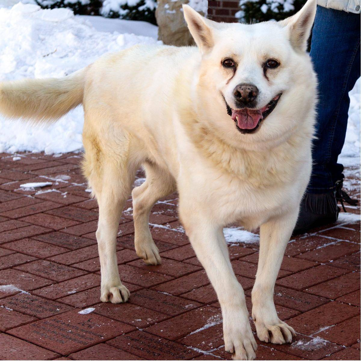 Beautiful Joe is a male, white German shepherd, who is about 7½ years old and weighs 71 pounds.