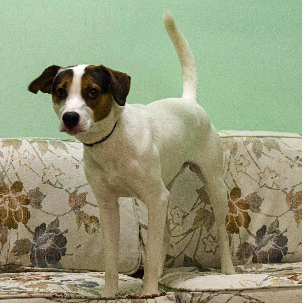 Spot, a male, Jack Russel/beagle mix, is about 31 pounds and 1 year old.
