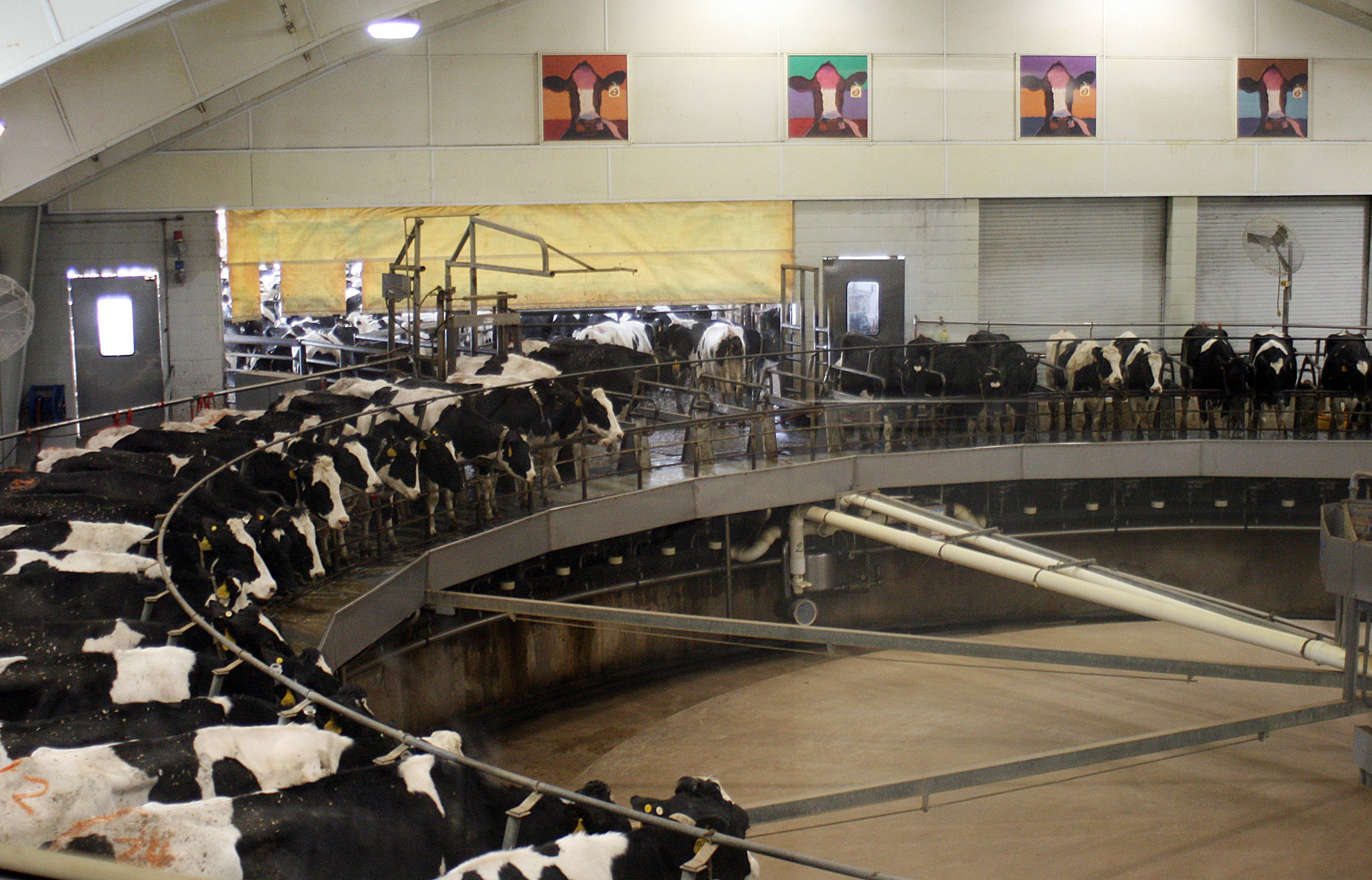 Dairy cows ride a rotating milking machine at Fair Oaks Farms in Fair Oaks, Ind.