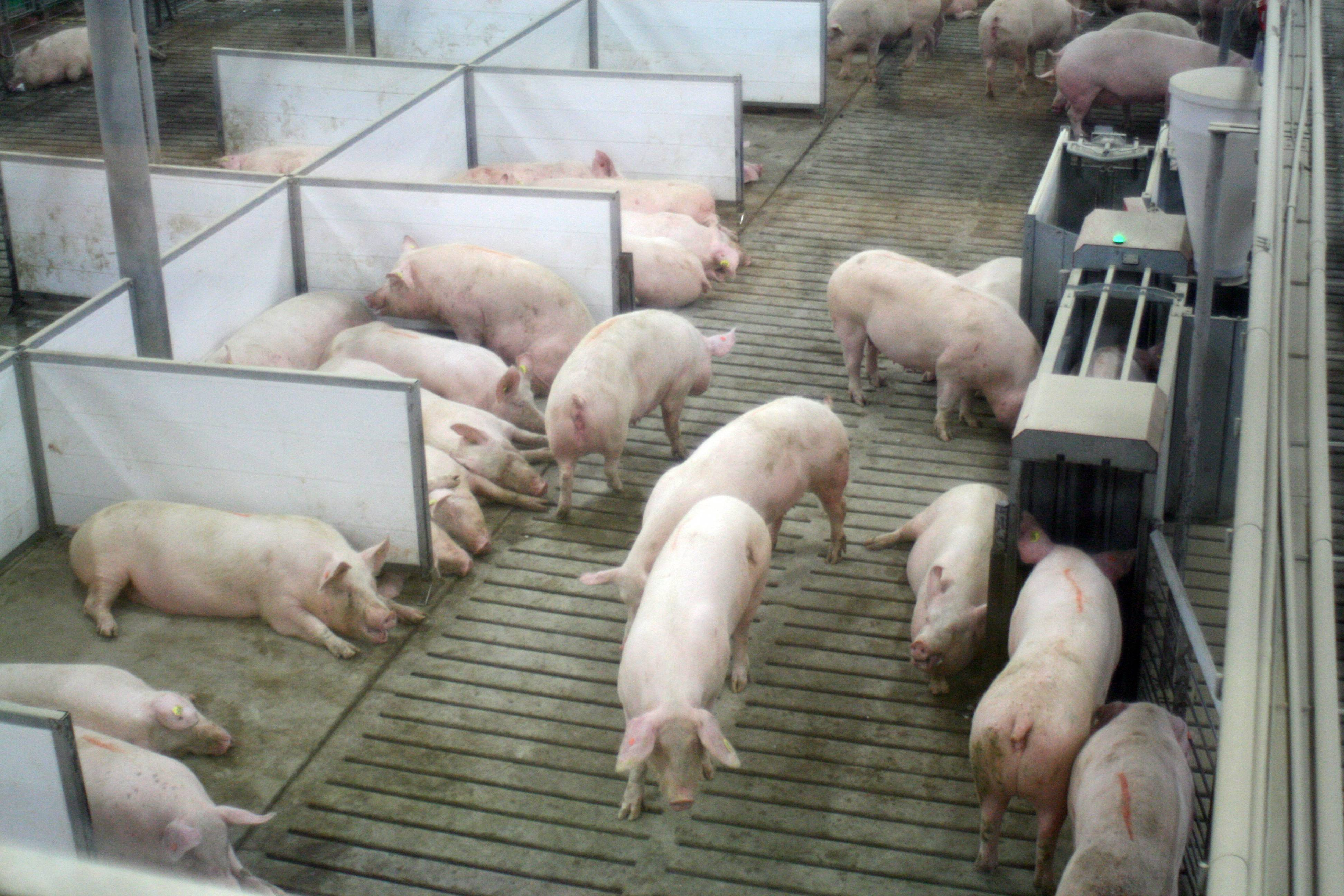 Pregnant sows use an electronic feeding stall at Fair Oaks Farms in Fair Oaks, Ind., which is 70 miles south of Chicago. The collection of properties known as Fair Oaks Farms draws as many as 500,000 visitors per year.