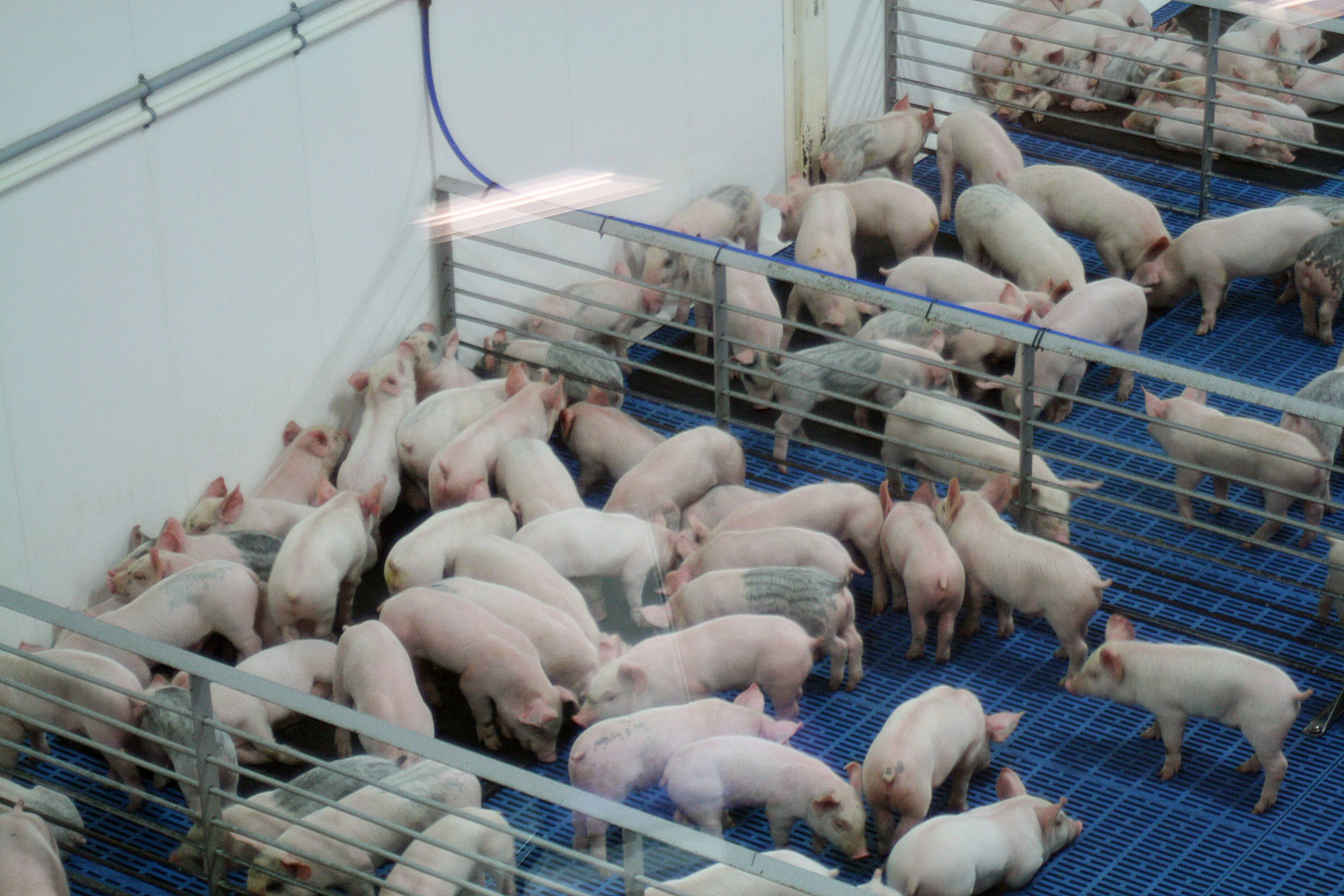These piglets are almost ready for sale at Fair Oaks Farms in Fair Oaks, Ind. Tourists can visit the high-tech dairy farm and see piglets born on a hog farm all in one visit.