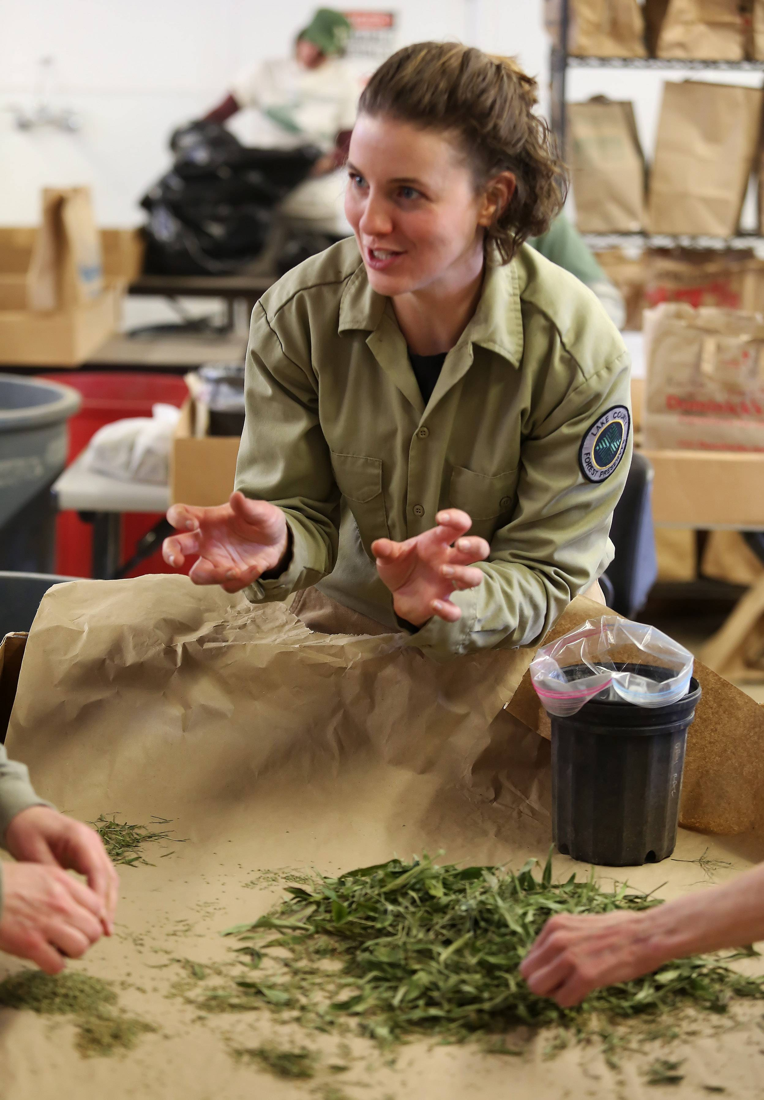 Kelly Schultz works with volunteers separating seeds from native plants at Rollins Savanna on Wednesday. The seeds will be used in planting throughout the different forest preserves in the spring.