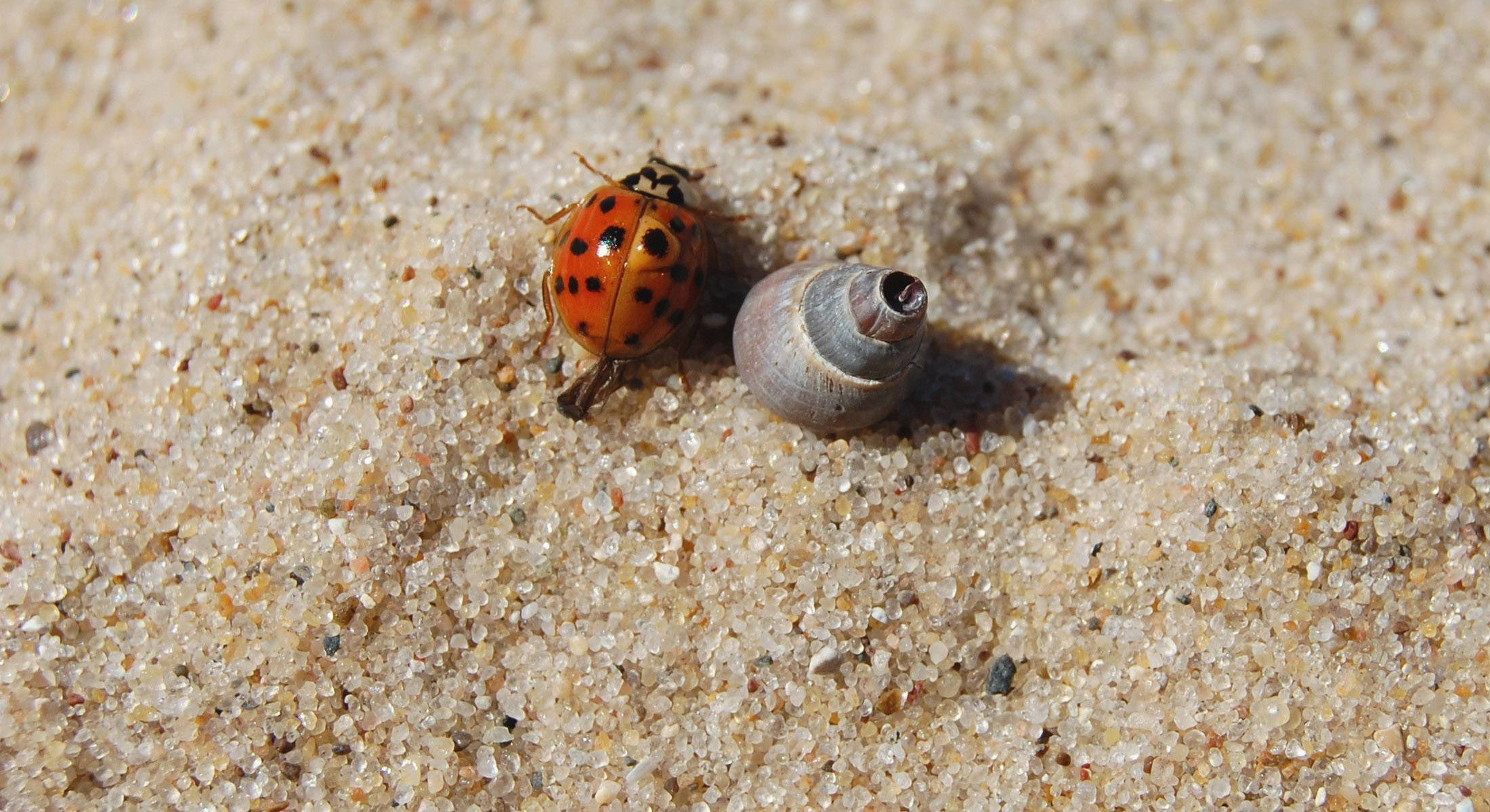 Ladybugs crawl around in the sand on the shore of Lake Michigan and one seemed to be drawn to a tiny shell about his size in Leland, Michigan last September.