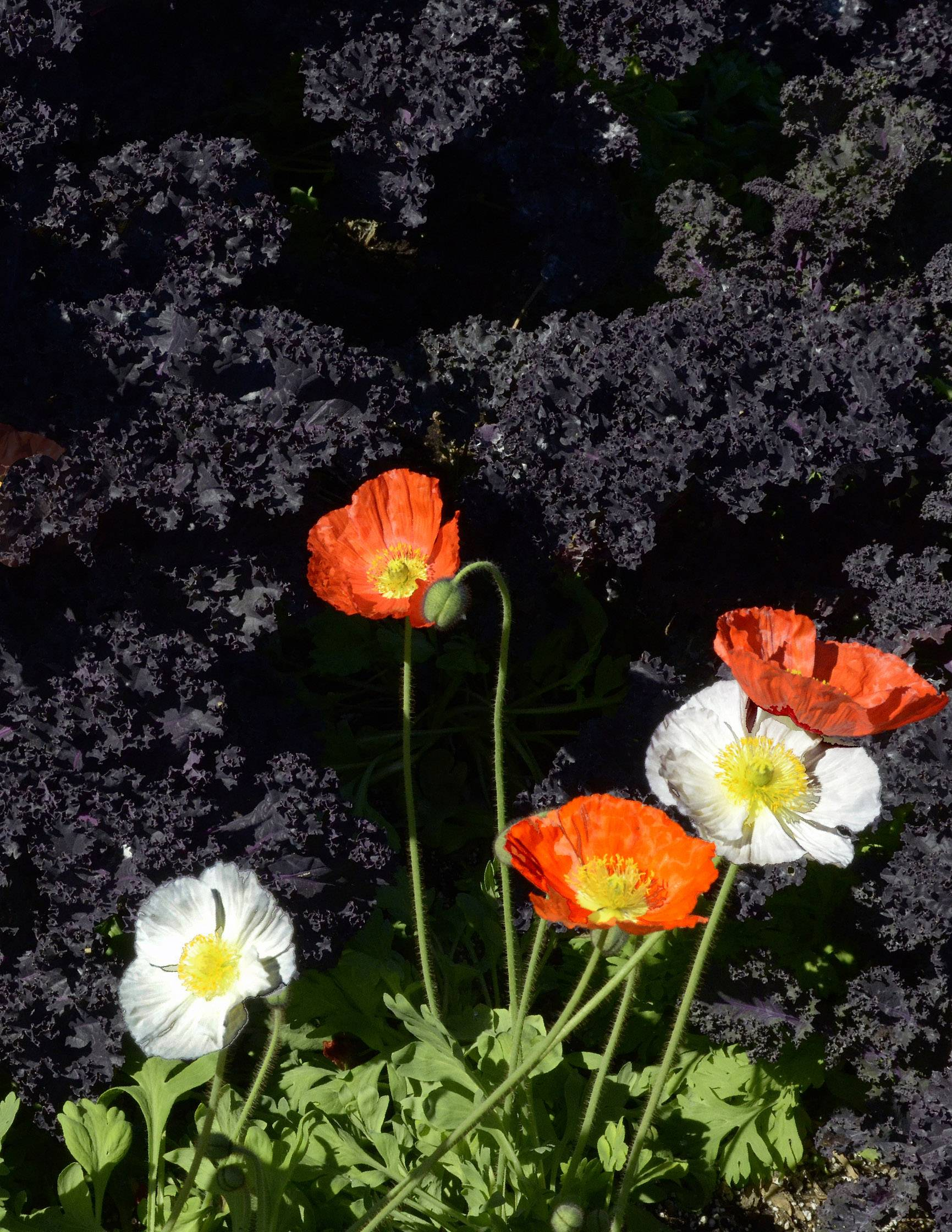 Poppies grow in front of a mass of lava at the Sherman Gardens in Corona del Mar, Cal. last January.