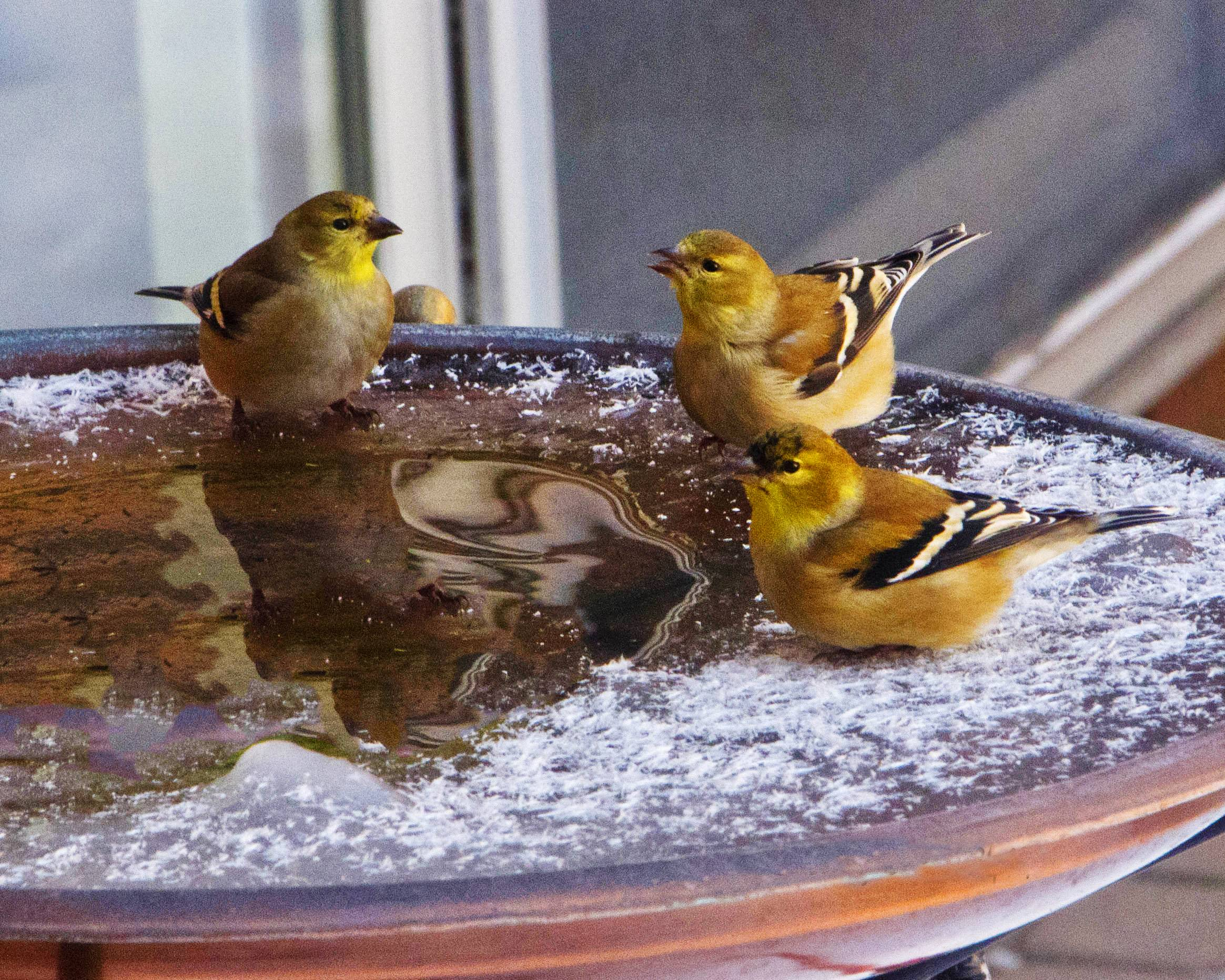 A large flock of goldfinches gather on a patio throughout the winter to eat thistle and wash it down at the heated bird fountain when temperatures were 45 degrees below zero in January.