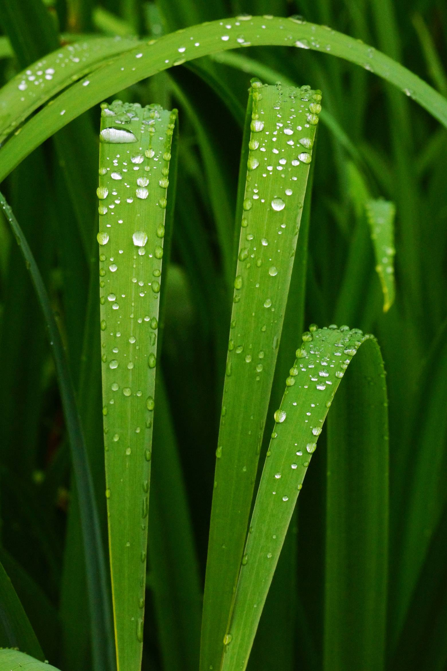 Last summer, I took a trip to Geneva's Fabyan Japanese Garden on a rainy day. I was attracted to all the bead-like drops clinging to these lush green stalks.