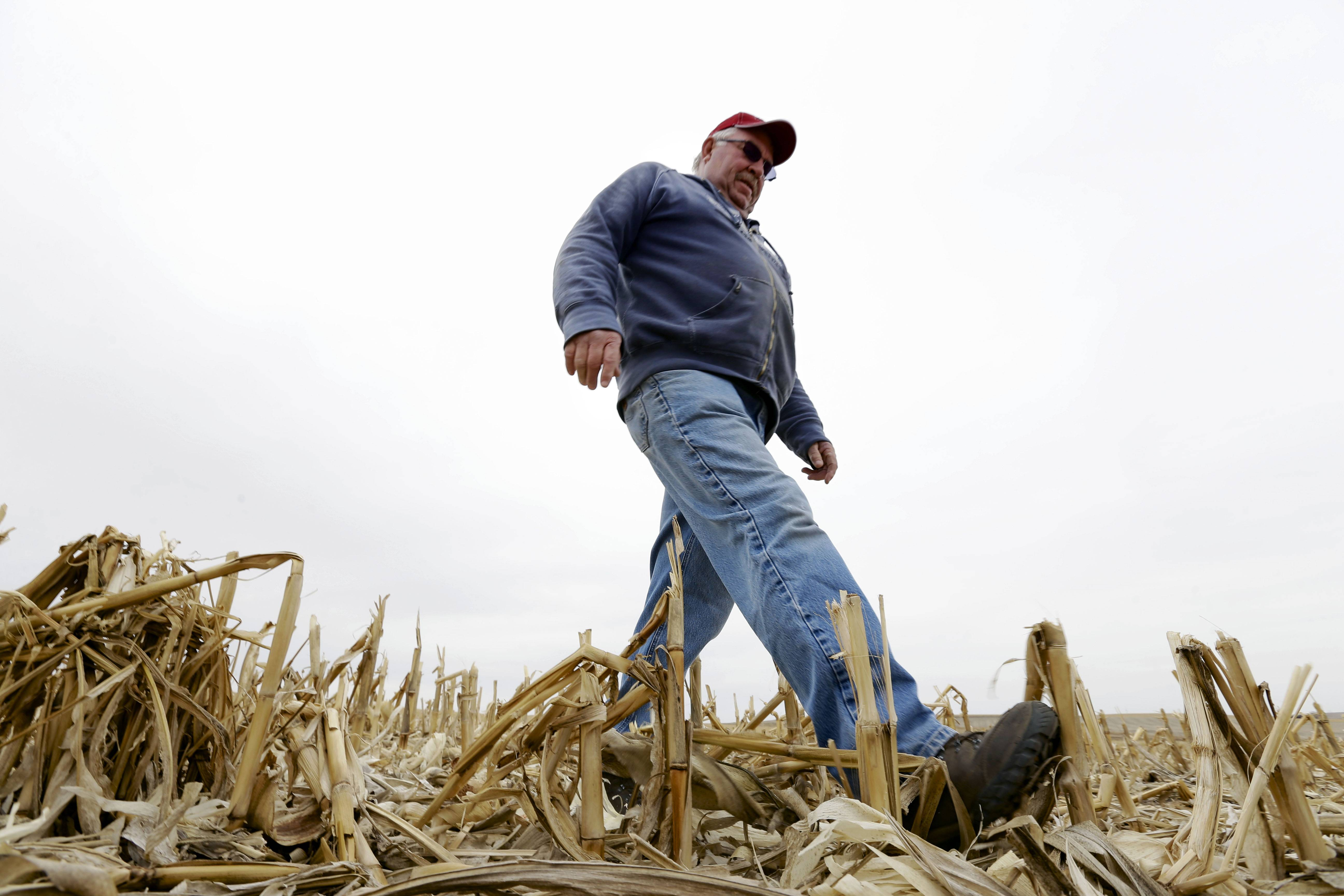 "Tom Rutjens walks through corn field in Tilden, Neb. Rutjens, a construction-company owner who also lives in Tilden, said he knew of two landowners who were dead-set against the pipeline, but more who were willing accept the risks in exchange for the payments. ""Just about everyone else I've talked to has been tickled"" with the offers, Rutjens said."