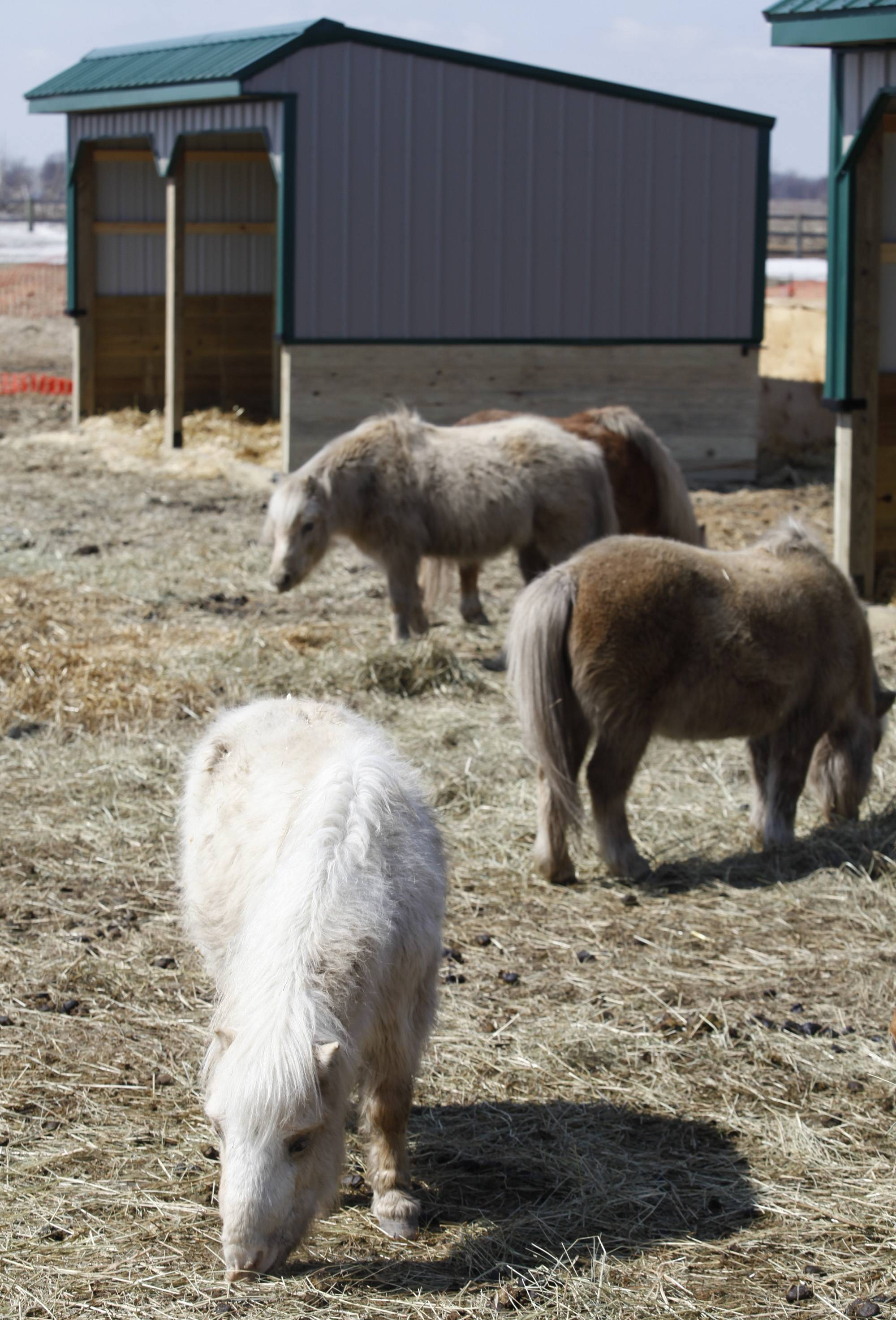 Horses graze Monday afternoon at a farm in rural Kane County. The horses were impounded from an Elgin woman who has been charged with cruelty and neglect.